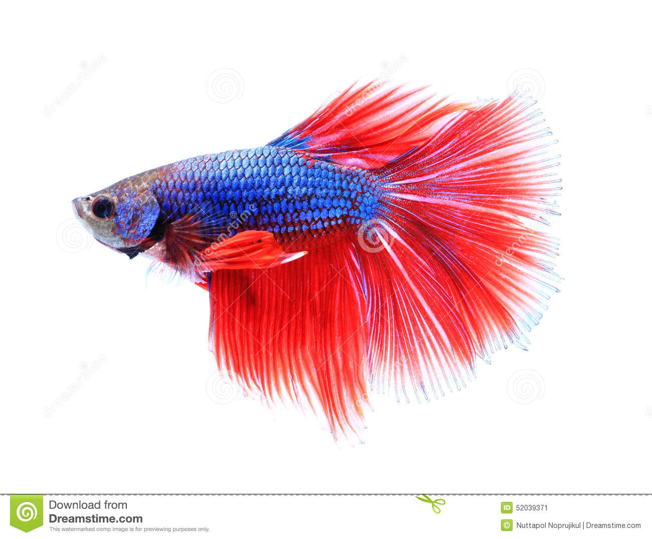 Colorful Siamese Fighting Fish , Betta Isolated On White Background ...