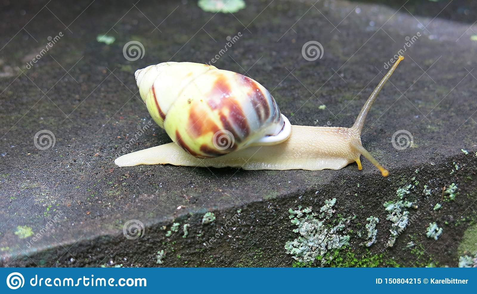 Colorful snail on concrete step. Long antennae. Out of the shell.