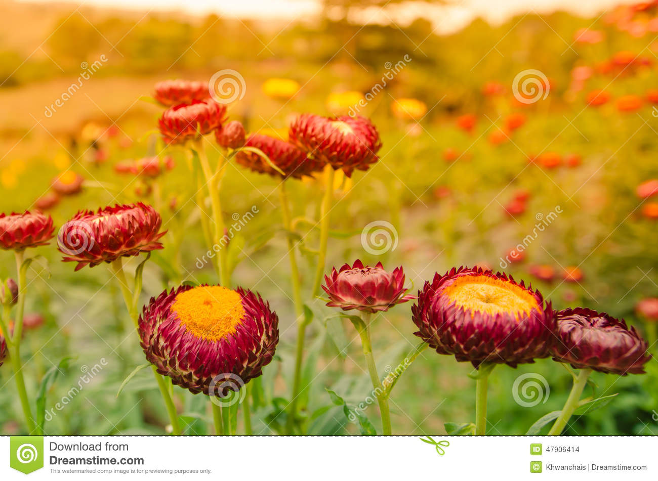 Colorful Straw Flowers Stock Image