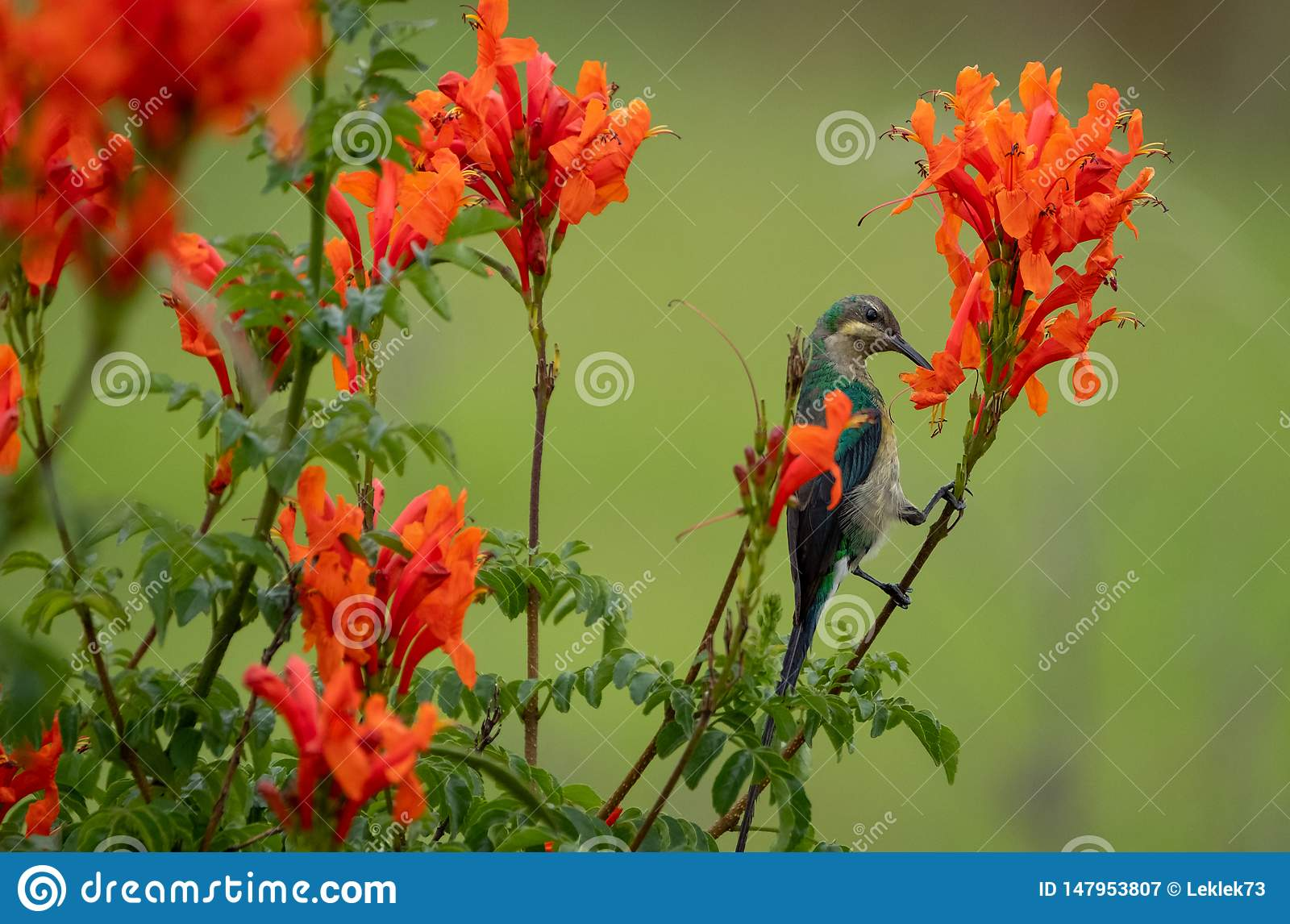 Colorful sunbird with iridescent colour feathers, photographed in the Drakensberg mountains near Cathkin Peak, South Africa