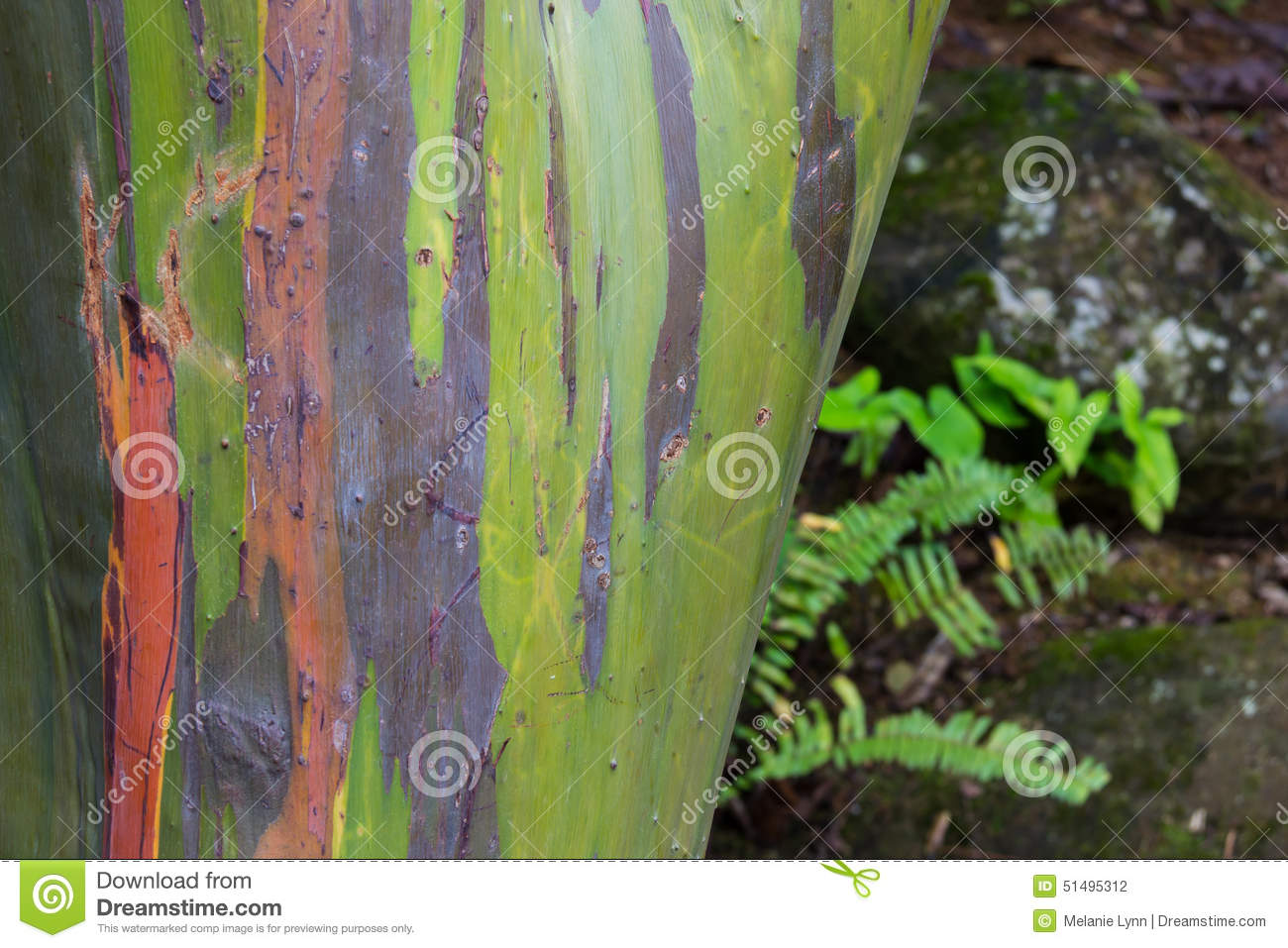 Colorful Tree In El Yunque National Rain Forest Stock Photo - Image ...