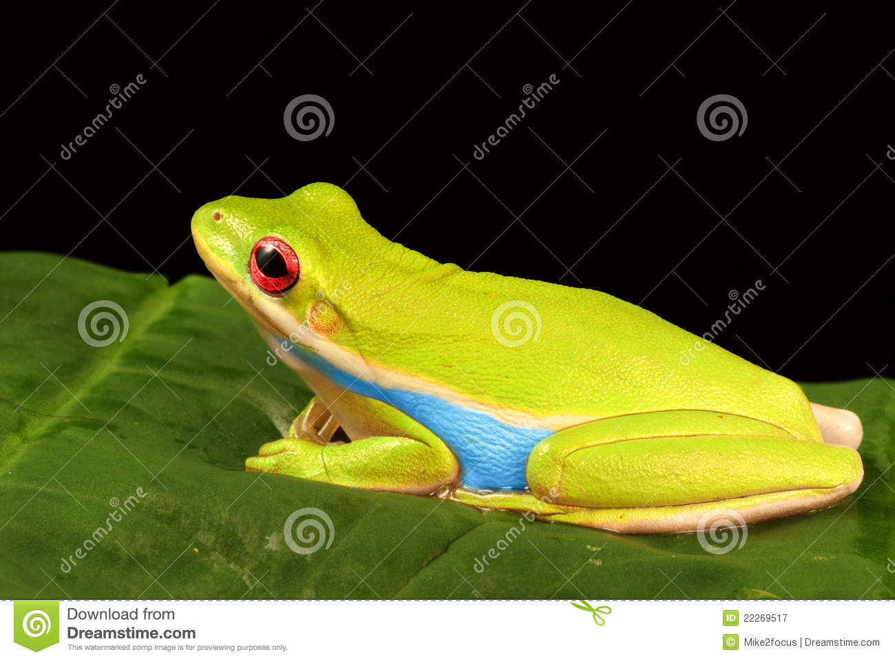 Colorful Tree Frog Against Black Background Stock Image - Image of ...