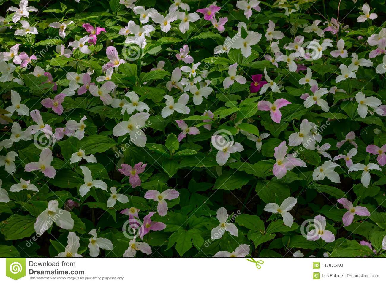 Colorful Trillium Flowers Stock Image Image Of Flower 117850403