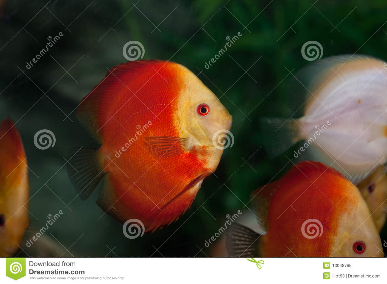 Colorful Tropical Discus Fish Stock Image - Image of marine ...