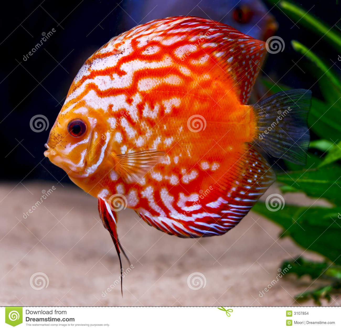 Colorful Tropical Discus Fish Stock Photo - Image of diskus, depth ...