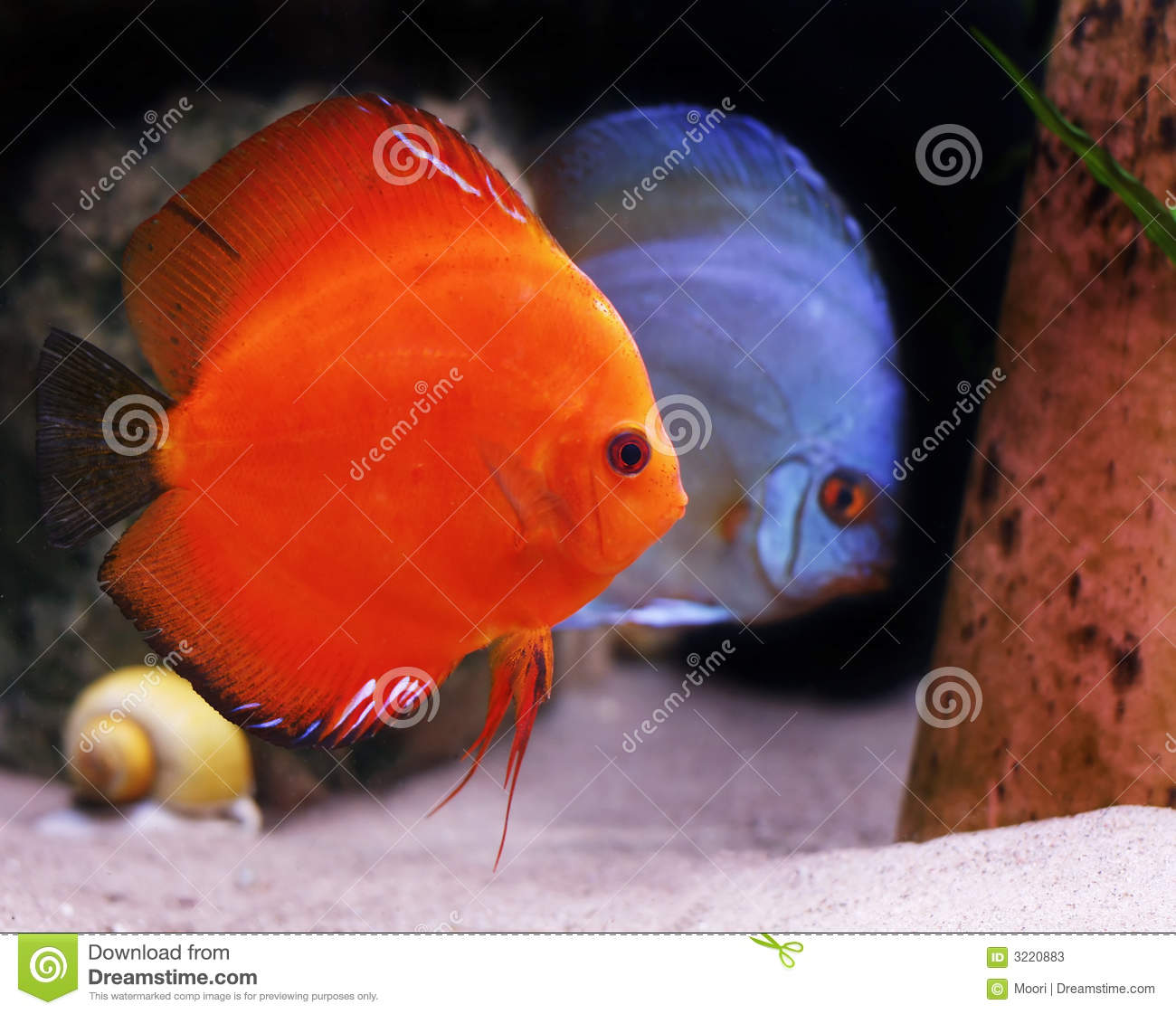 Colorful Tropical Discus Fish Stock Image - Image of fish ...