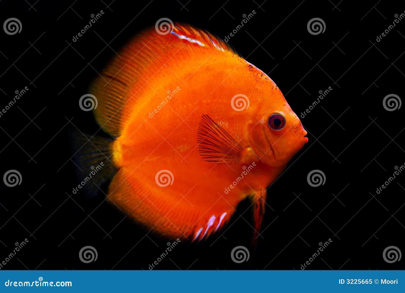 Colorful Tropical Discus Fish Stock Image - Image of aquarium, deep ...