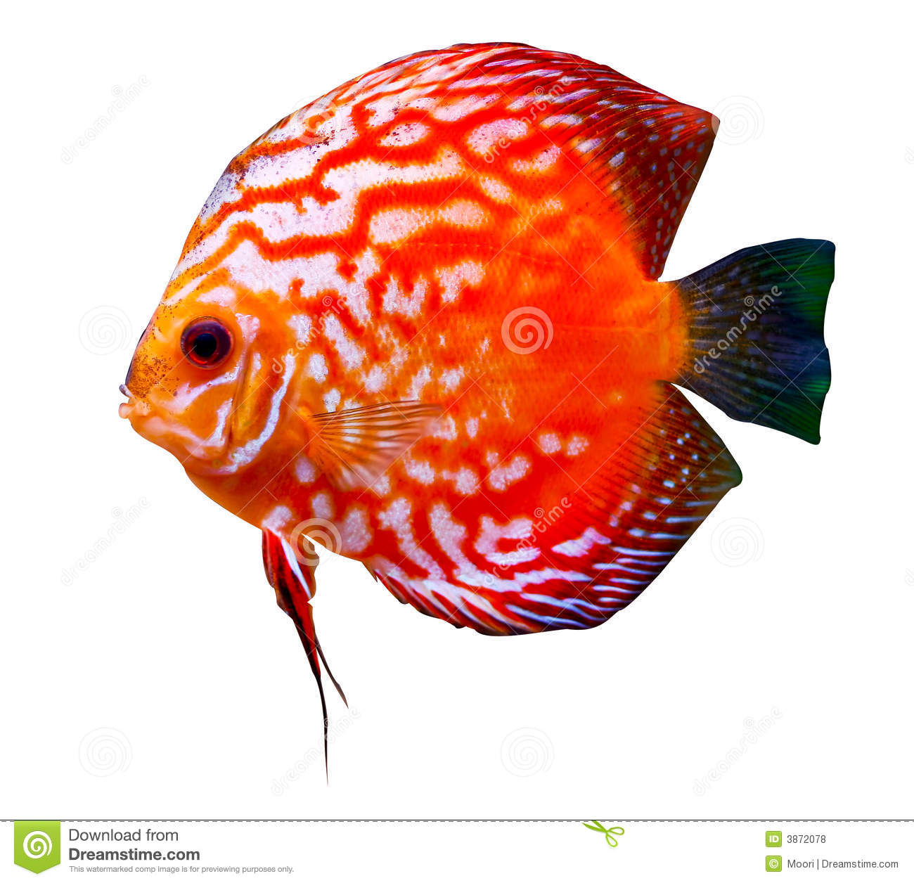 Colorful tropical discus fish stock photo image of for Tropical fish images