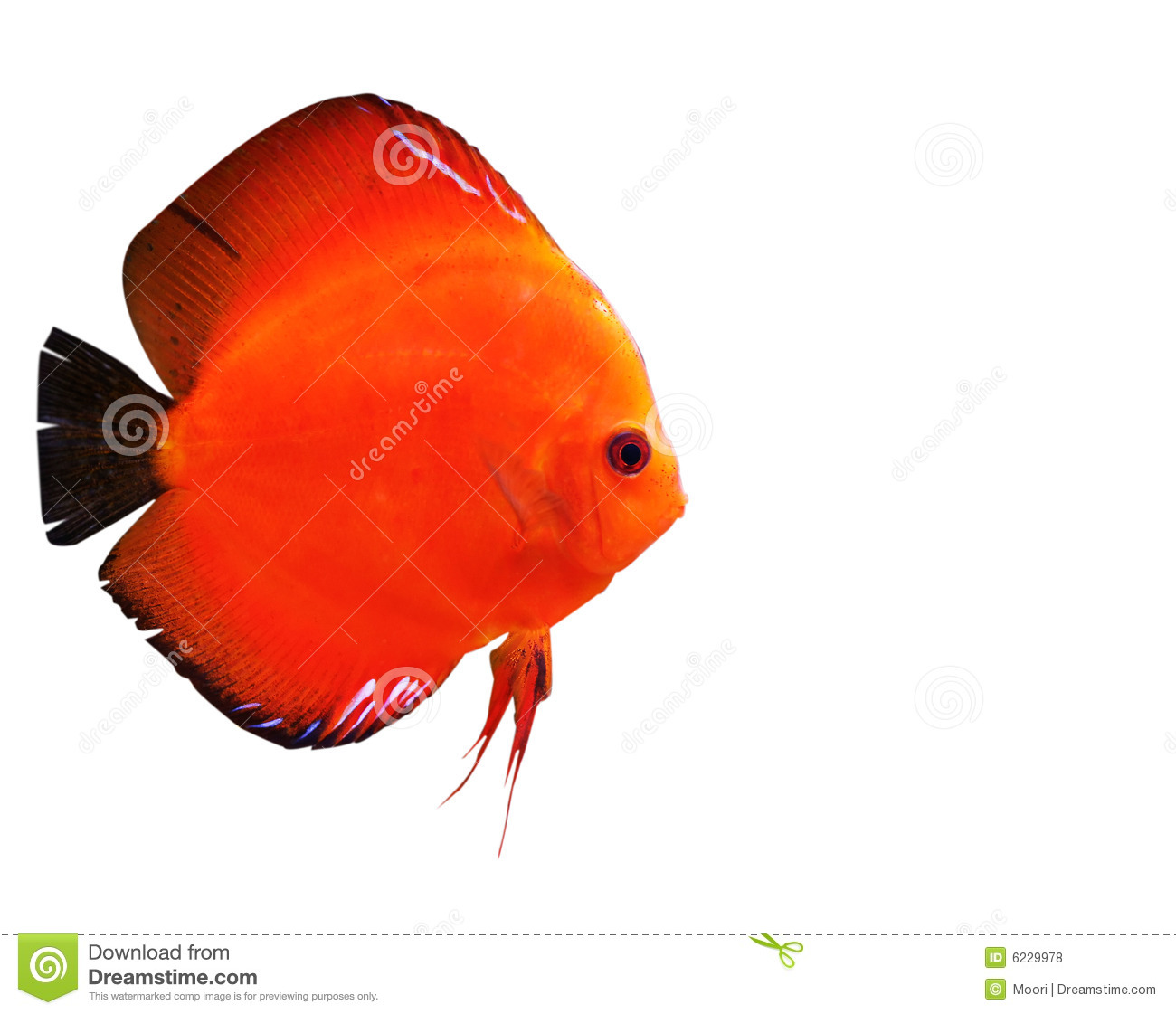 Colorful Tropical Discus Fish Stock Photo - Image of marine, diskus ...