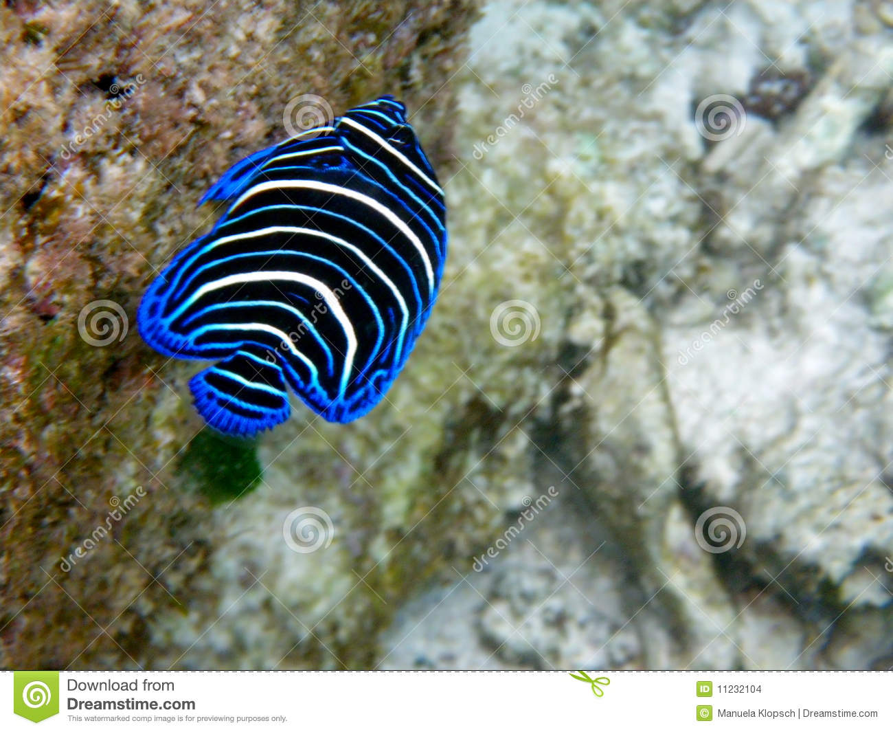 Colorful tropical fish stock photo. Image of ocean, blue - 11232104