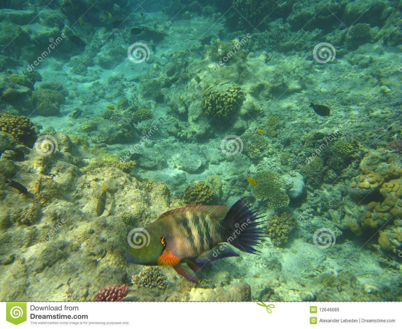 Colorful Tropical Fish Royalty Free Stock Images Image