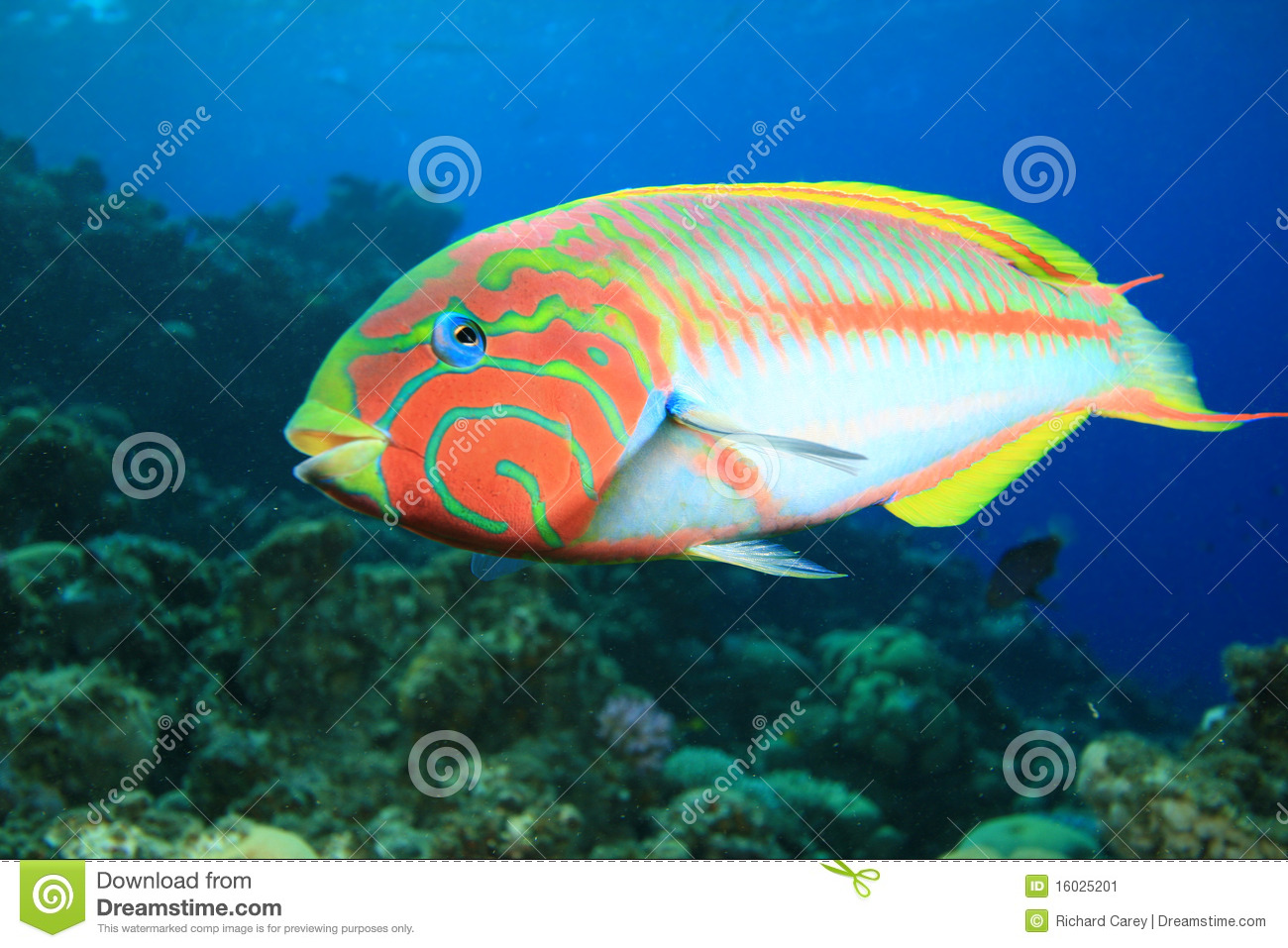 Colorful Tropical Fish stock image. Image of hard, ecosystem - 16025201