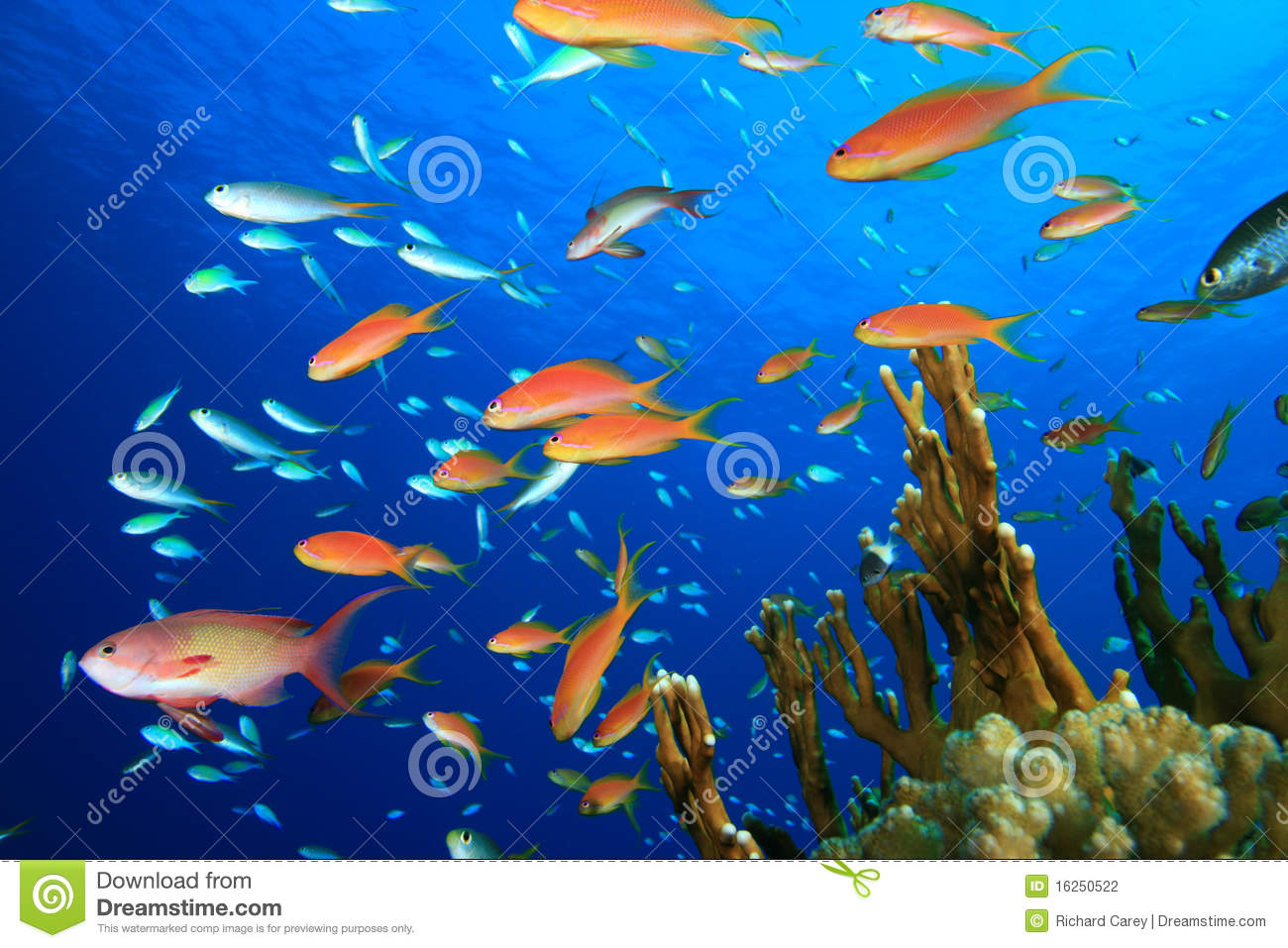 Colorful Tropical Fish Stock Photography Image 16250522