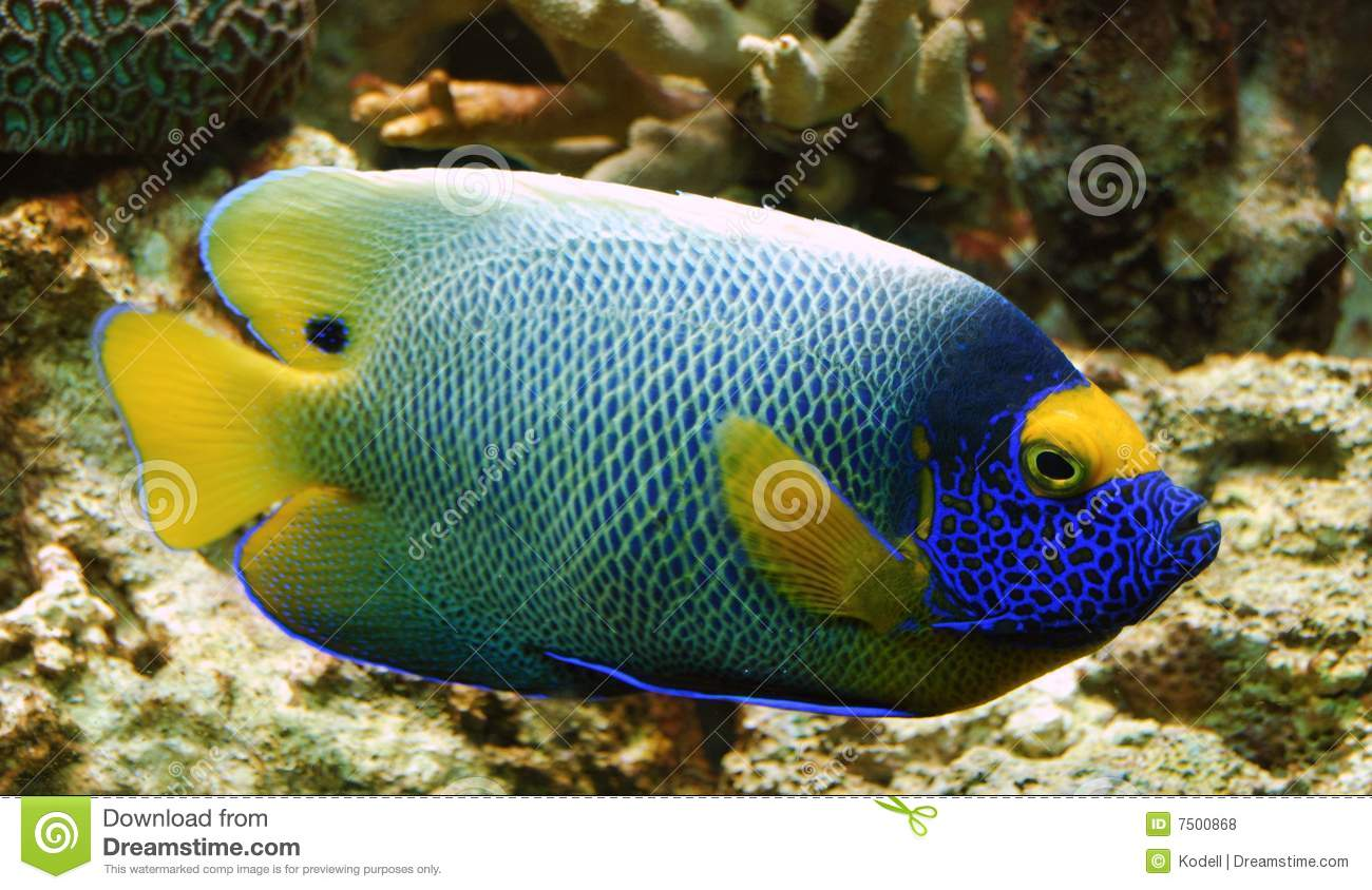 Colorful Tropical Fish Royalty Free Stock Photos Image
