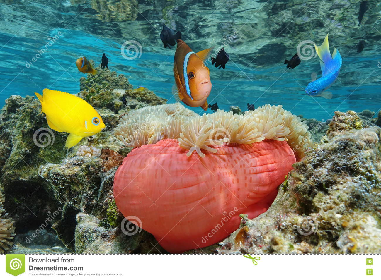 Colorful Tropical Fish With A Sea Anemone Pacific Stock Photo ...