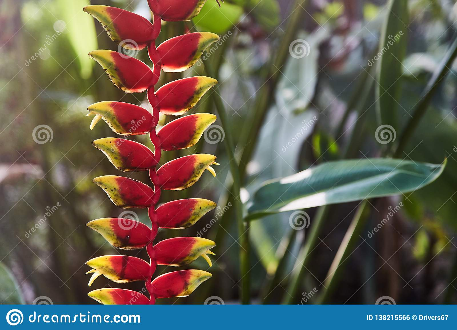 Colorful tropical flowers. Heliconia bihai Red palulu flower. Red color.