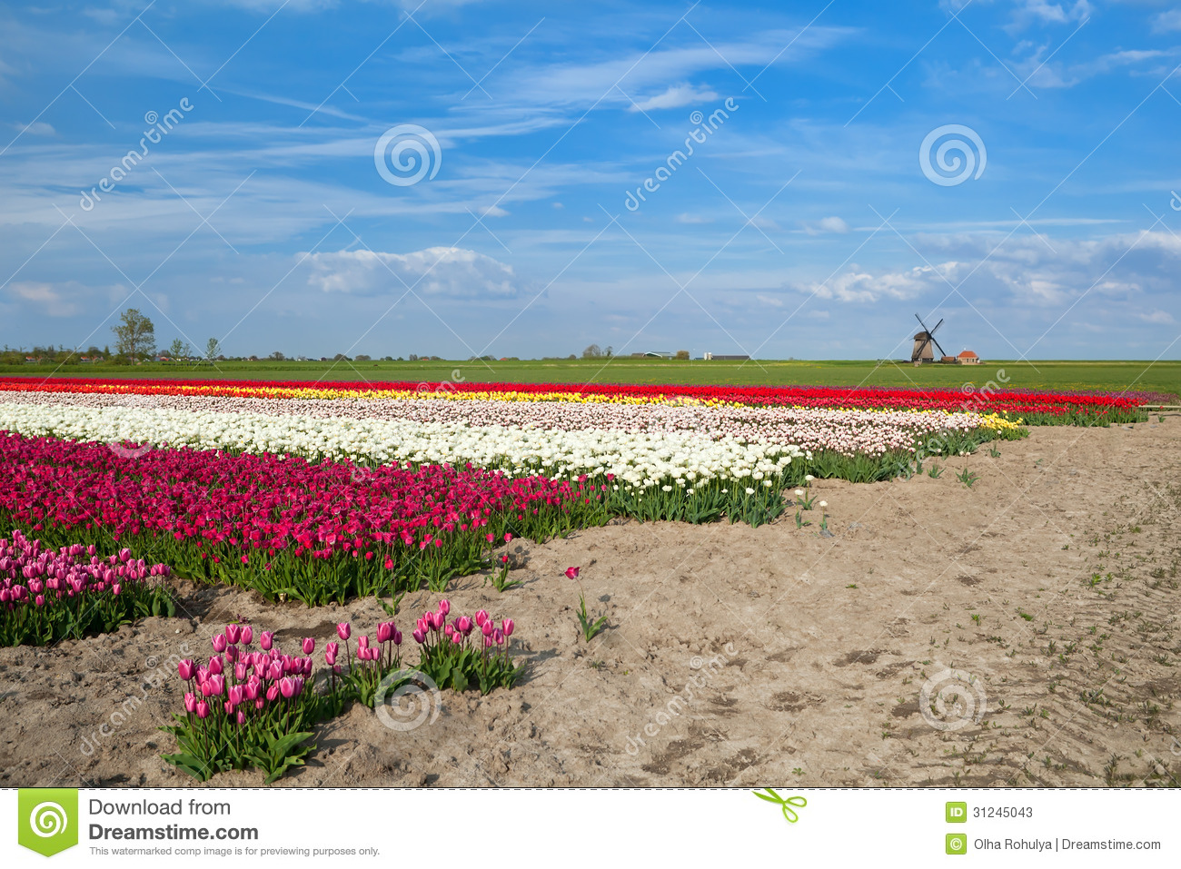 Colorful Tulip Fields And Windmill In Alkmaar Stock Photos - Image ...