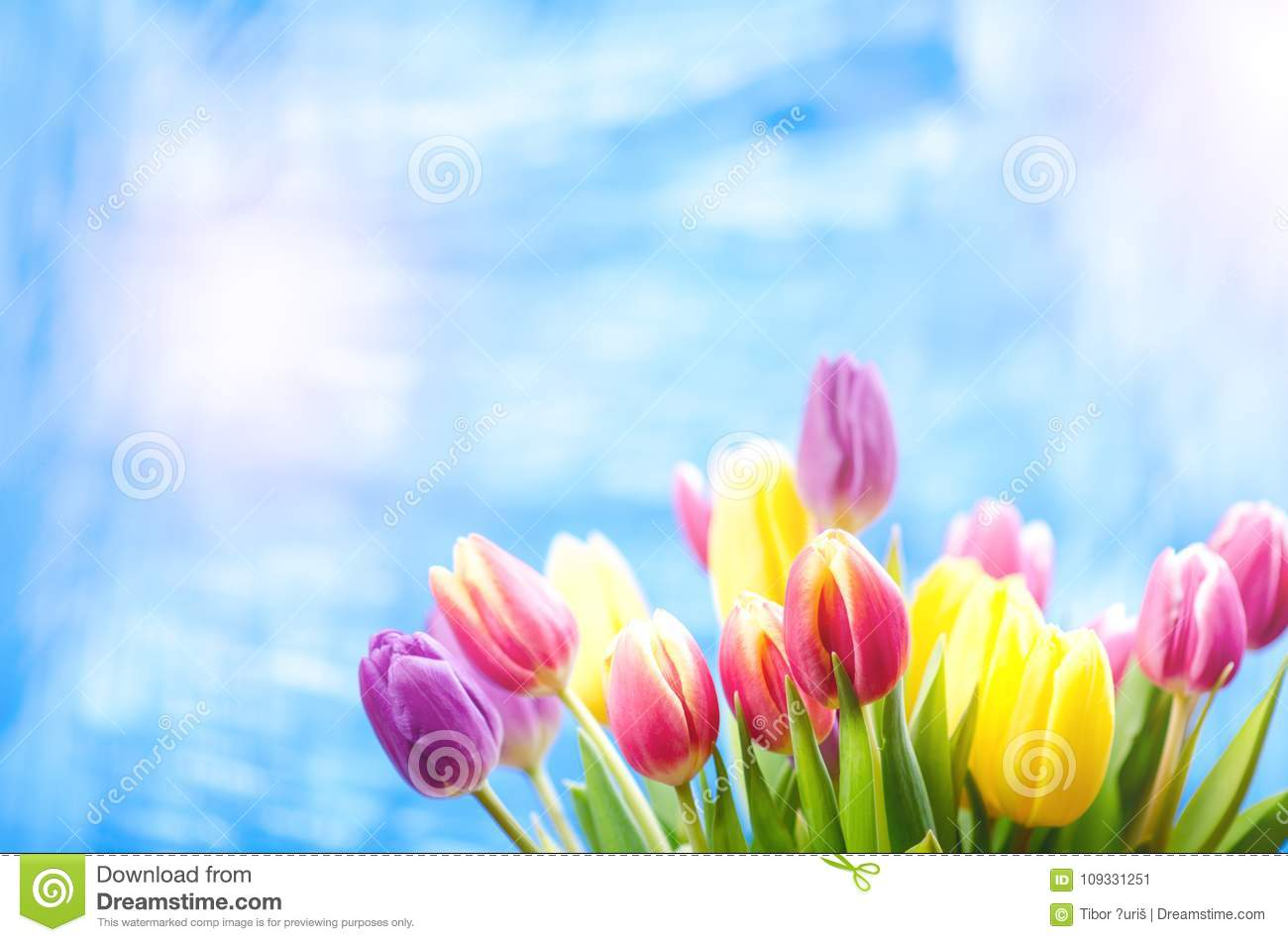 Colorful tulip flowers on a blue background with a copy space for a text. Top of view. Blue sky background. Valentines gift and ce