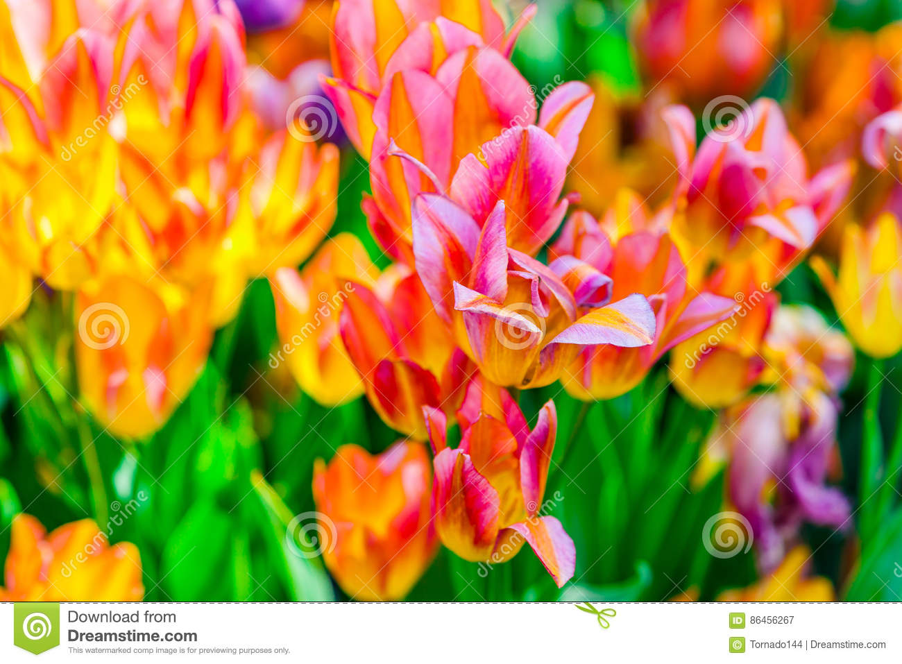 Colorful Tulip Flowers In Spring Season Stock Image Image Of