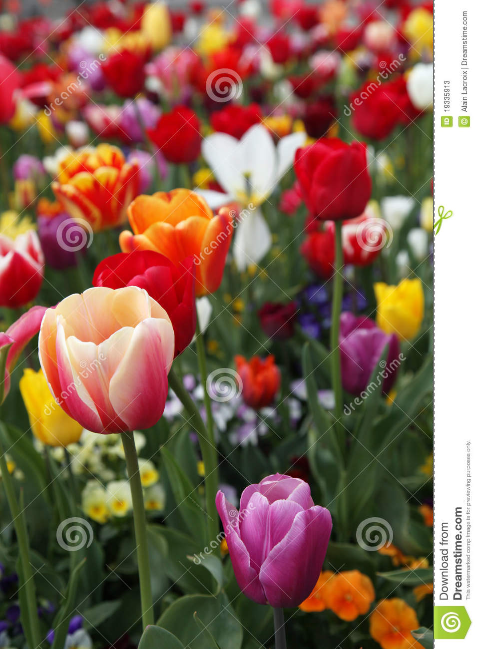 Colorful Tulips Stock Photos - Image: 19335913