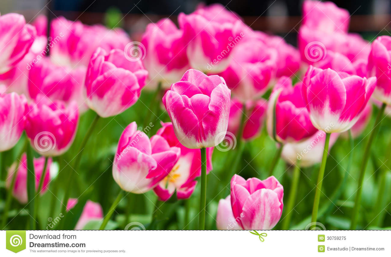 colorful tulip flowers - photo #26