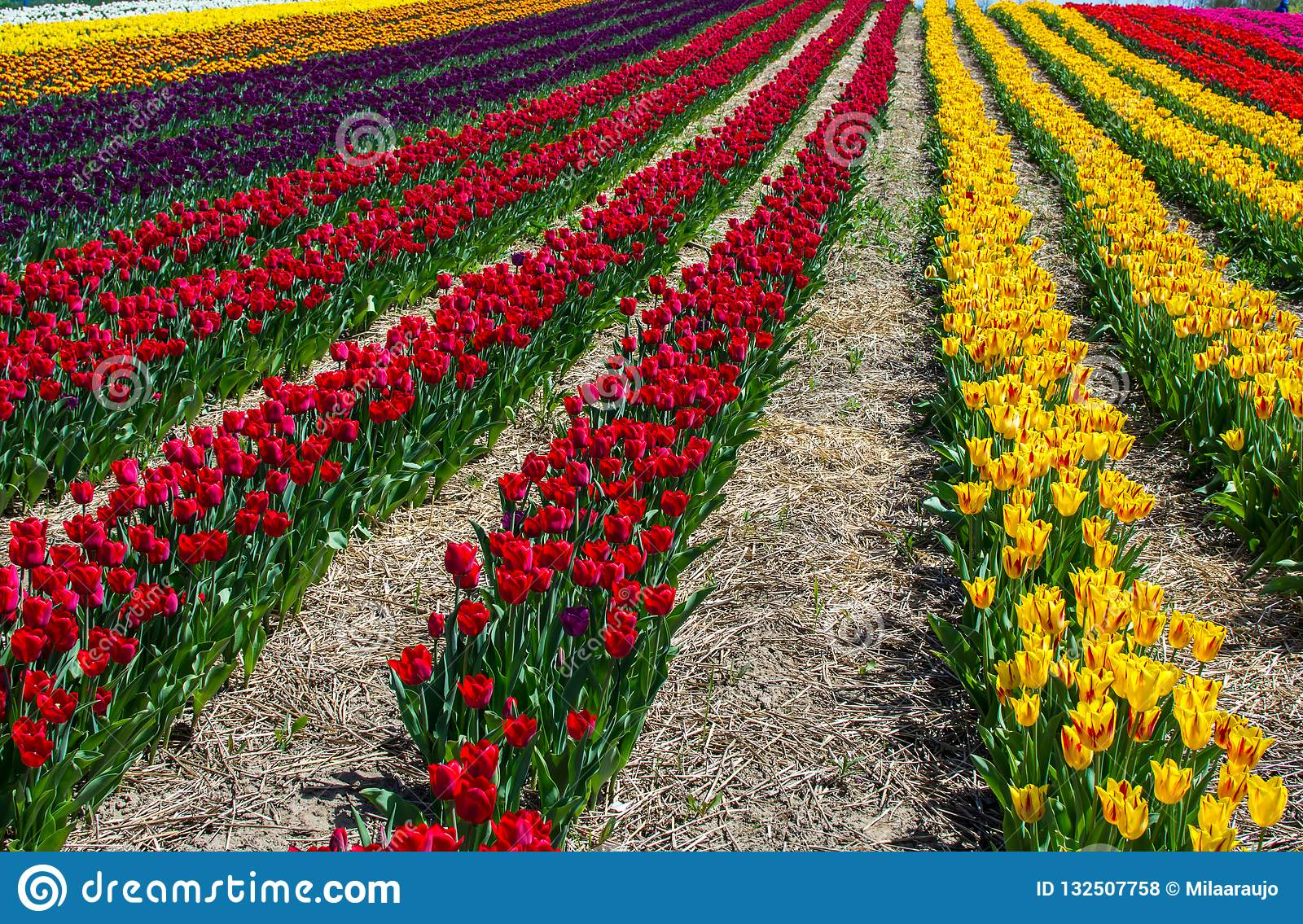 Beautiful Tulip Field Scenic Landscape Spring Background With Colorful tulips