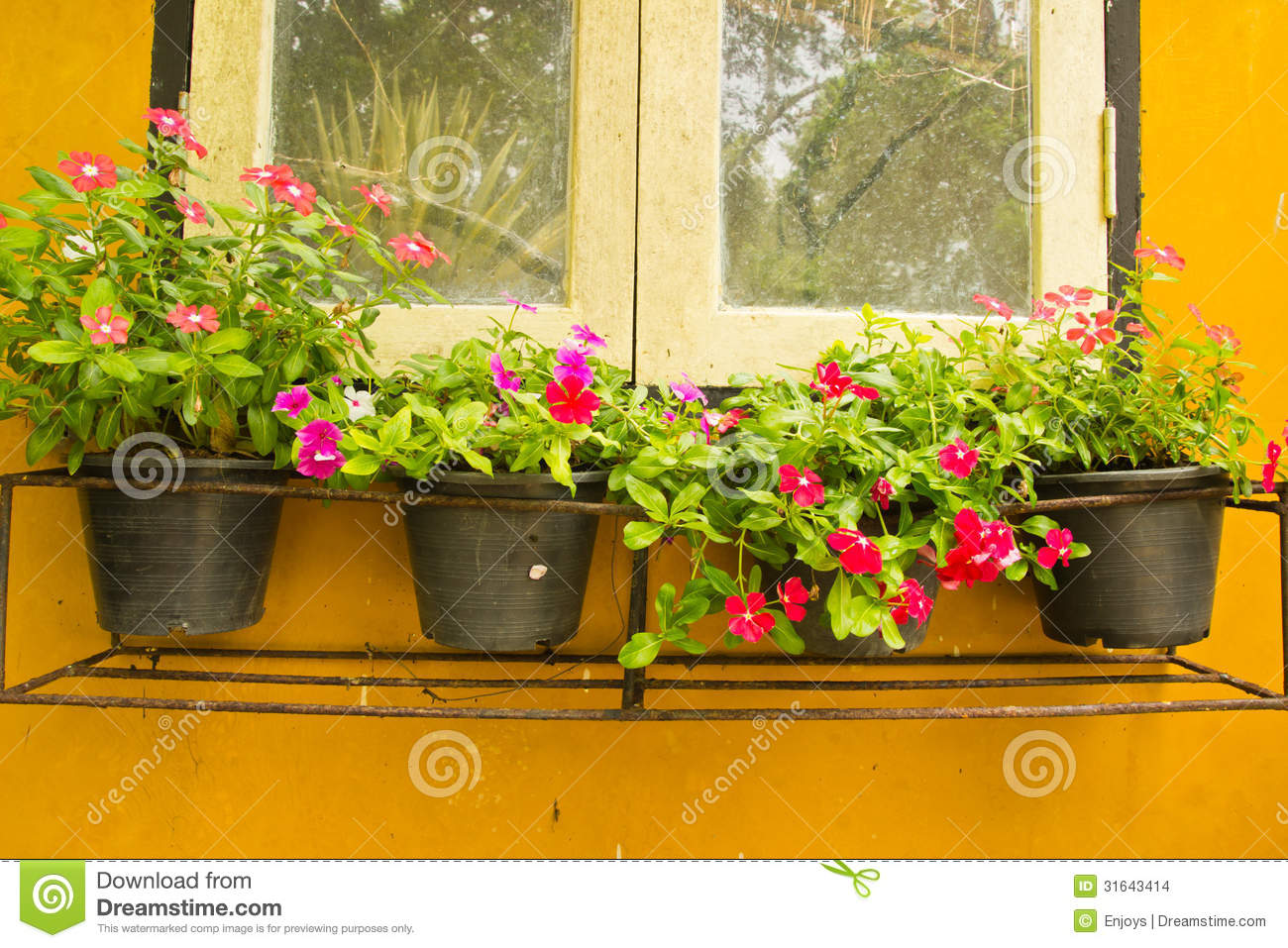 Colorful Vinca Flower In Pots Stock Photo Image Of Medicinal