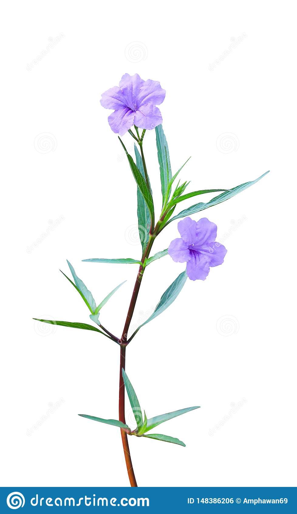 Colorful waterkanon or ruellia tuberosa blooming isolated on white background with clipping path , two purple flowers with green