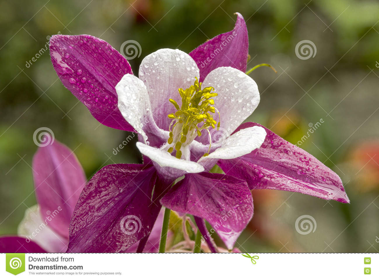 Colorful white purple and yellow aquilegia columbine flower stock download comp izmirmasajfo