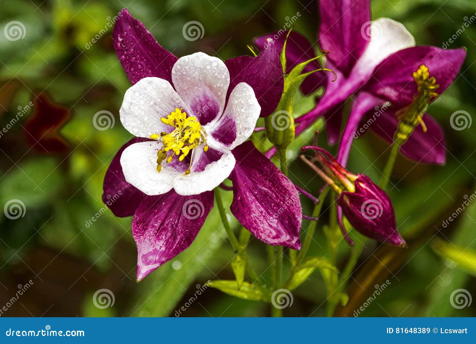 Colorful white purple and yellow aquilegia columbine flower stock colorful white purple and yellow aquilegia columbine flower dhlflorist Gallery