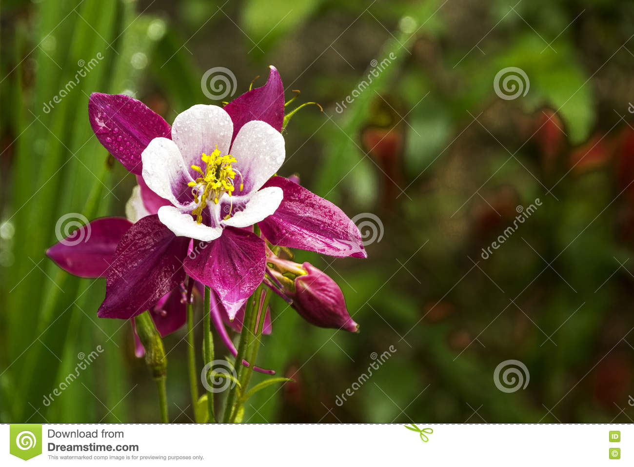 Colorful White Purple And Yellow Aquilegia Columbine Flower Stock