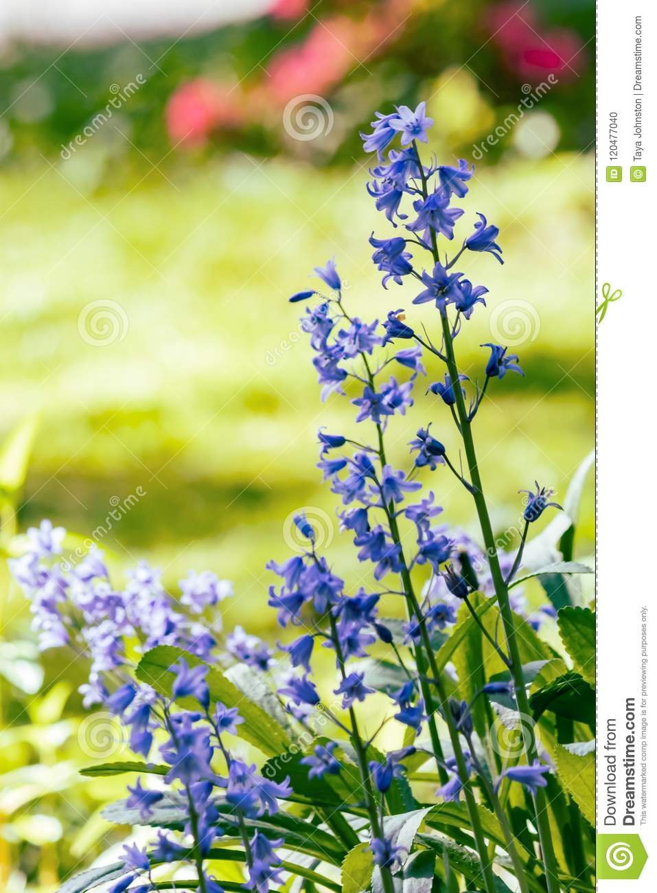 Tall Blue Wild Flowers Stock Photo Image Of Summer 120477040