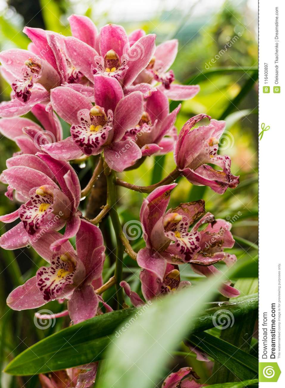 Colorful wild pink flowers on the branch in the tropical rain forest download colorful wild pink flowers on the branch in the tropical rain forest stock image mightylinksfo