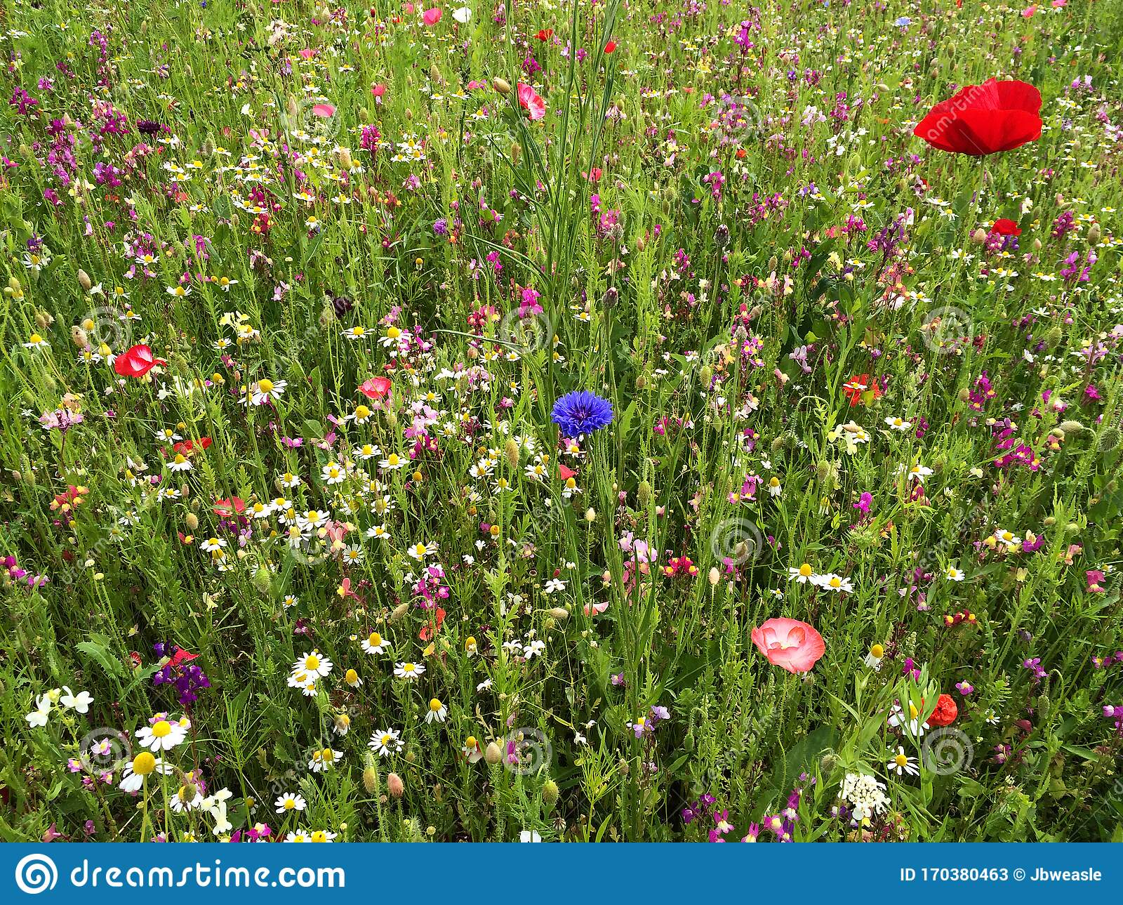 Colorful Wildflowers In A Field Poppies Daisies And Cornflower Red Blue Pink And White Wild Flowers With Green Grass Stock Image Image Of Meadow Blossom 170380463