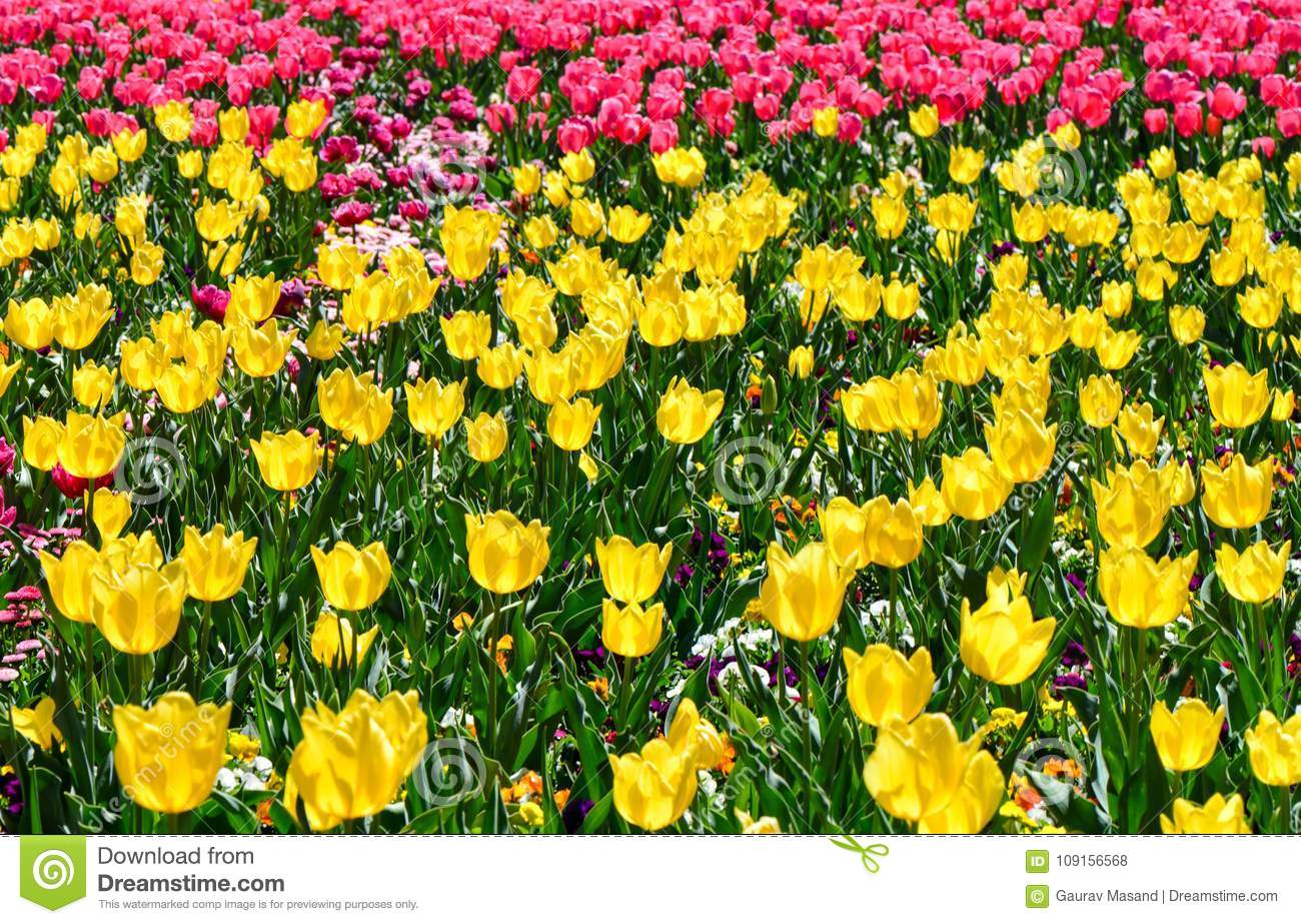 Colorful yellow and pink tulips at Floriade tulip garden Canberra