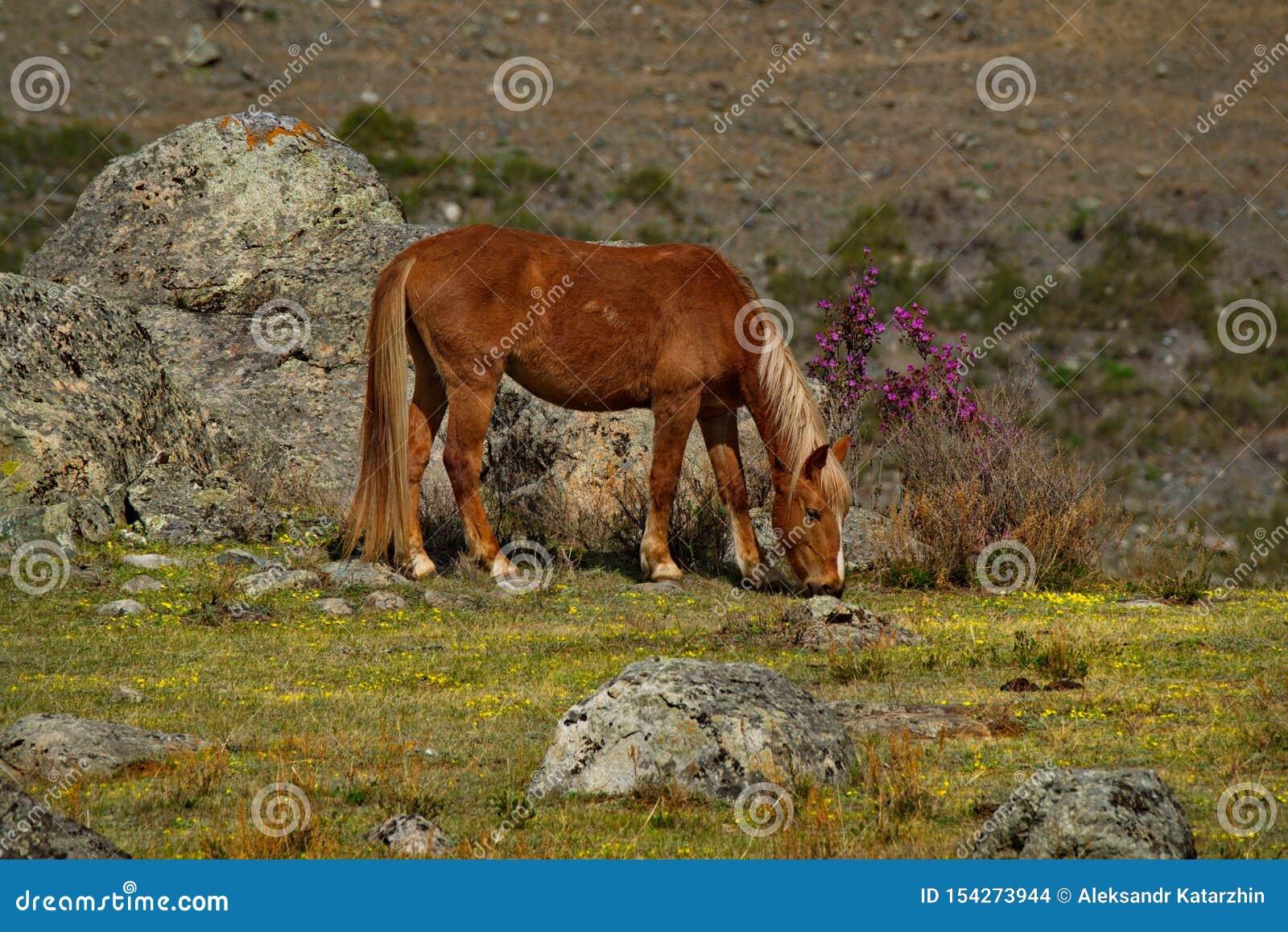 Colori della primavera delle steppe di pietra delle montagne di Altai