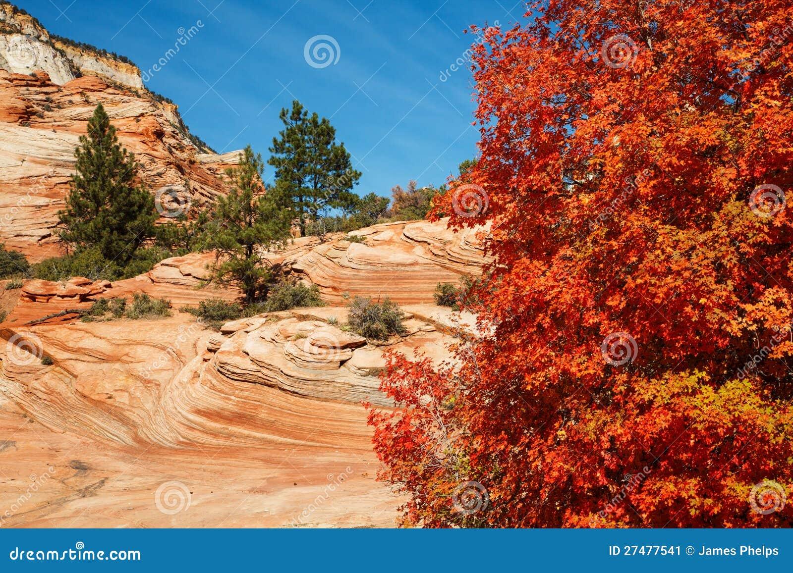 Colori di autunno dell 39 acero rosso immagine stock - Immagine dell albero a colori ...