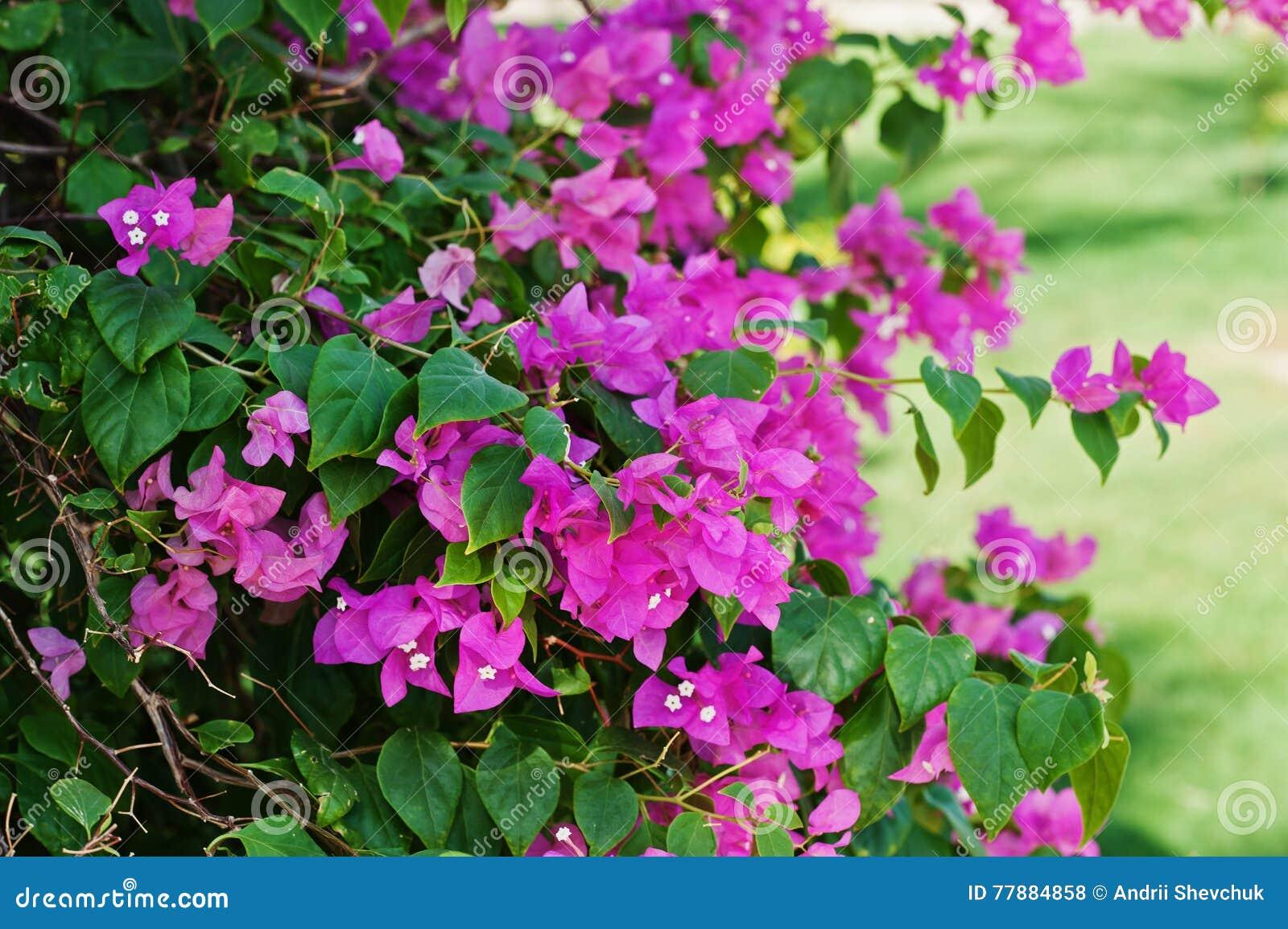 Colorido De La Flor Y De La Hoja De La Buganvilla De La Flor Foto de archivo
