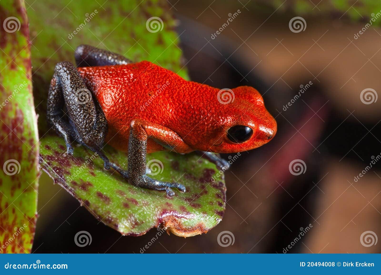 Colorido de la rana roja del veneno y hermoso exóticos
