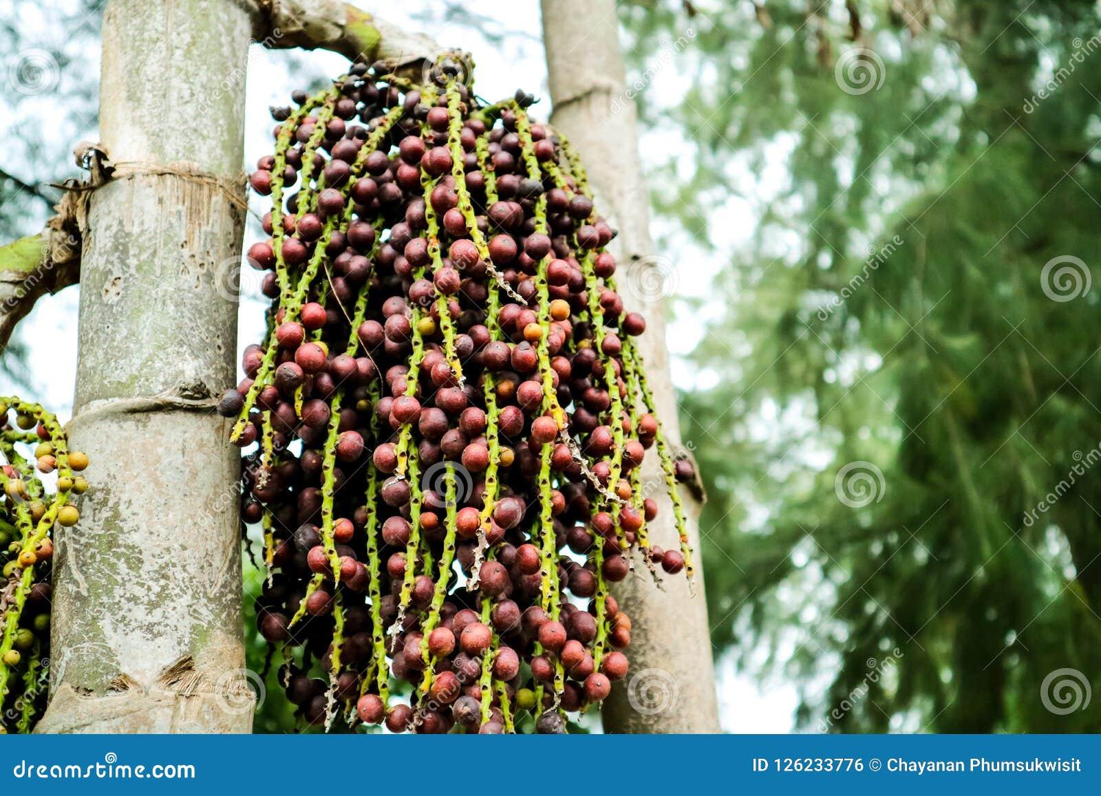Colorido de la semilla de la palma en la palmera adorne en jardín