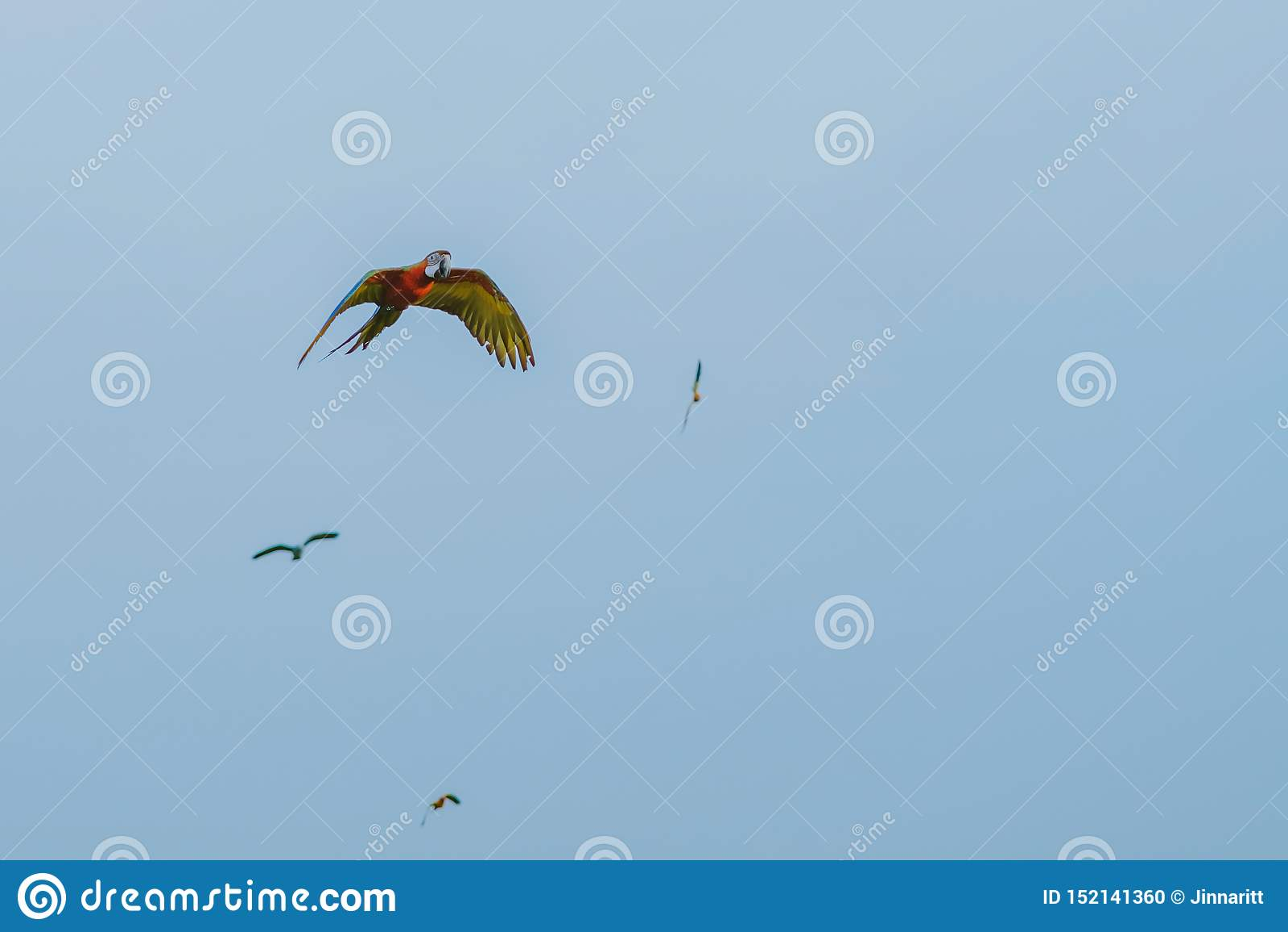 Colorido do voo da prática do papagaio da arara
