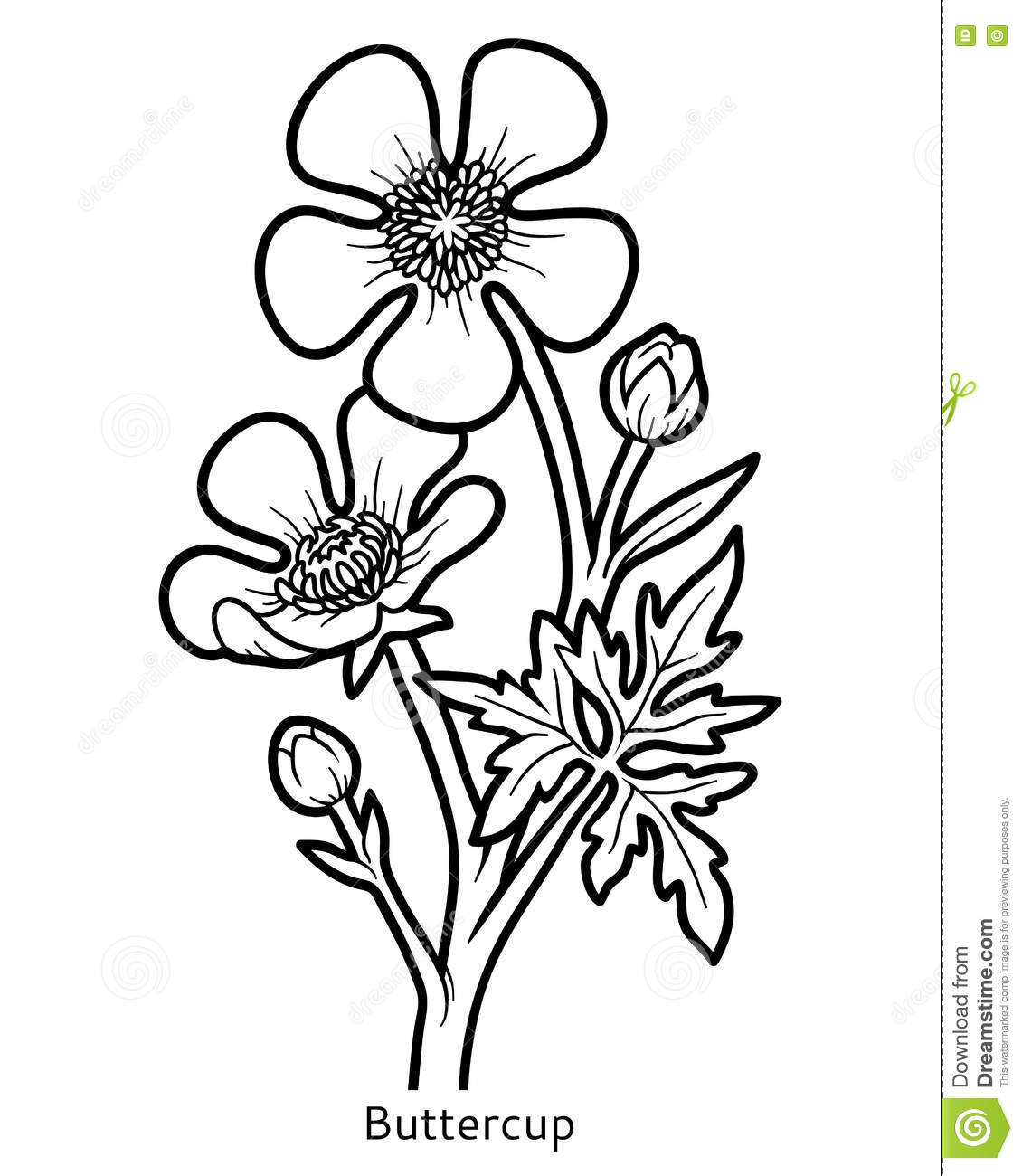 Coloring book flower buttercup stock vector image 79731504 for Buttercup flower coloring pages