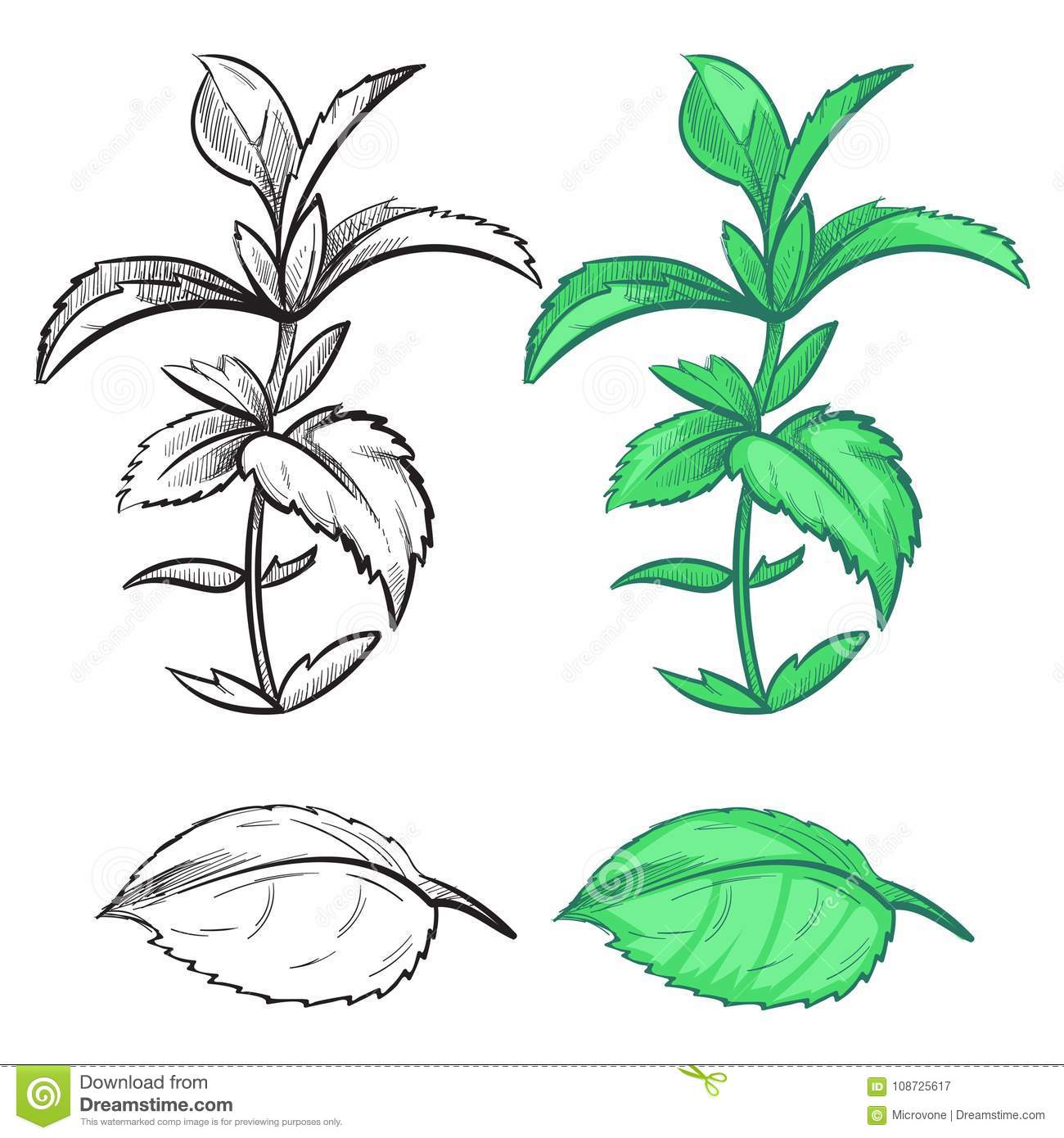 coloring hand drawn mint plant leaf colorful samples coloring hand drawn mint plant leaf colorful samples herb