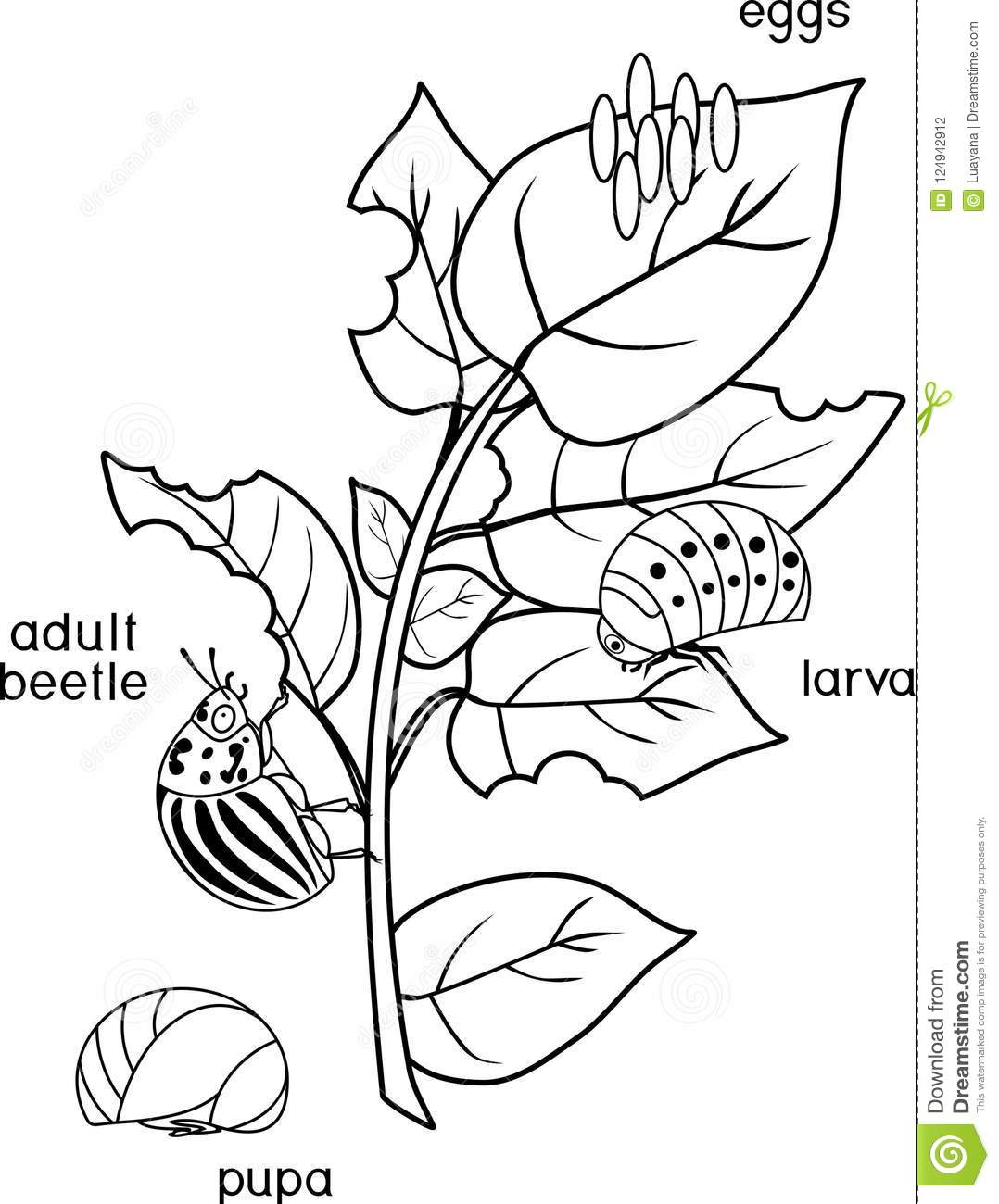 coloring page different stages of development of colorado potato Ata Chapter List coloring page with different stages of development of colorado potato beetle or leptinotarsa decemlineata on damaged potato leaf