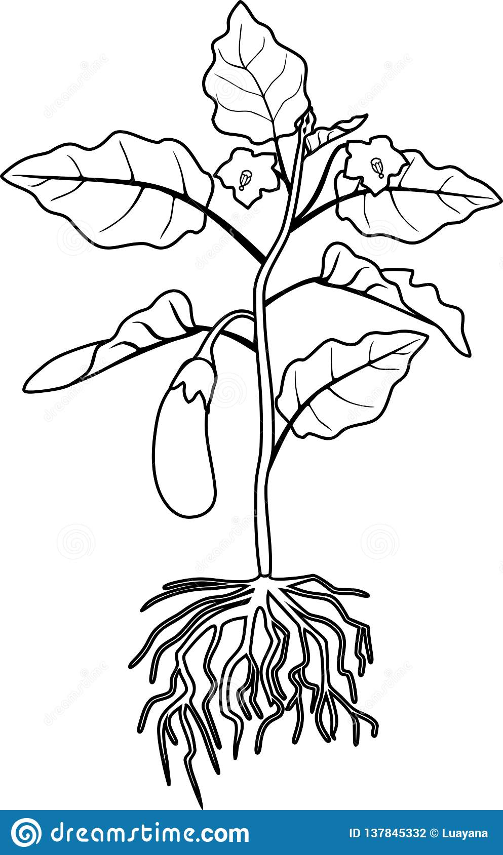 coloring page eggplant with leaves fruit and root system stock vector illustration of brinjal vegetable 137845332 https www dreamstime com coloring page eggplant leaves fruit root system coloring page eggplant leaves fruit root system isolated image137845332