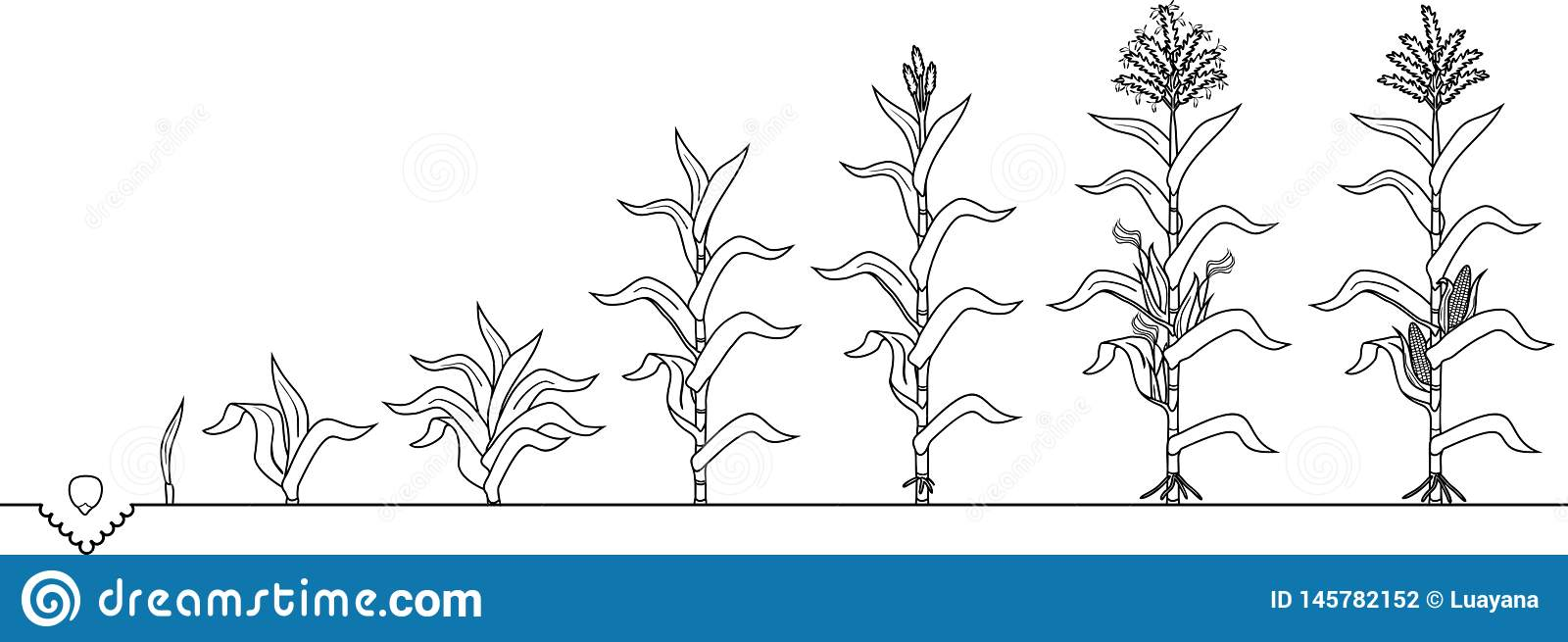 Free Life Cycle Of A Plant Coloring Page, Download Free Clip Art ... | 655x1600