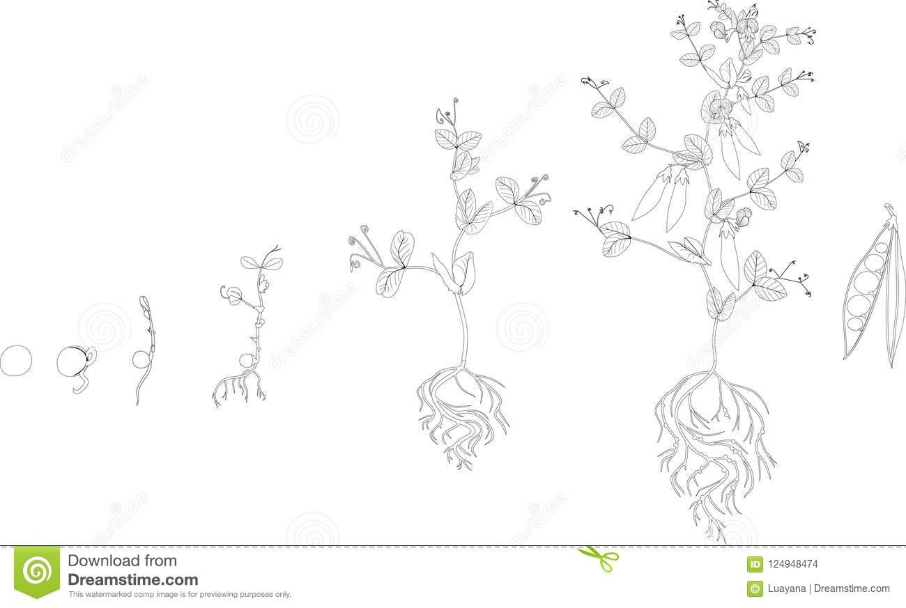 Free Life Cycle Of A Plant Coloring Page, Download Free Clip Art ... | 873x1300