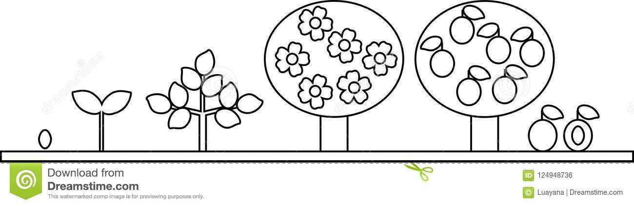 Coloring Page Life Cycle Of Plum Tree Plant Growth Stage From Seed To