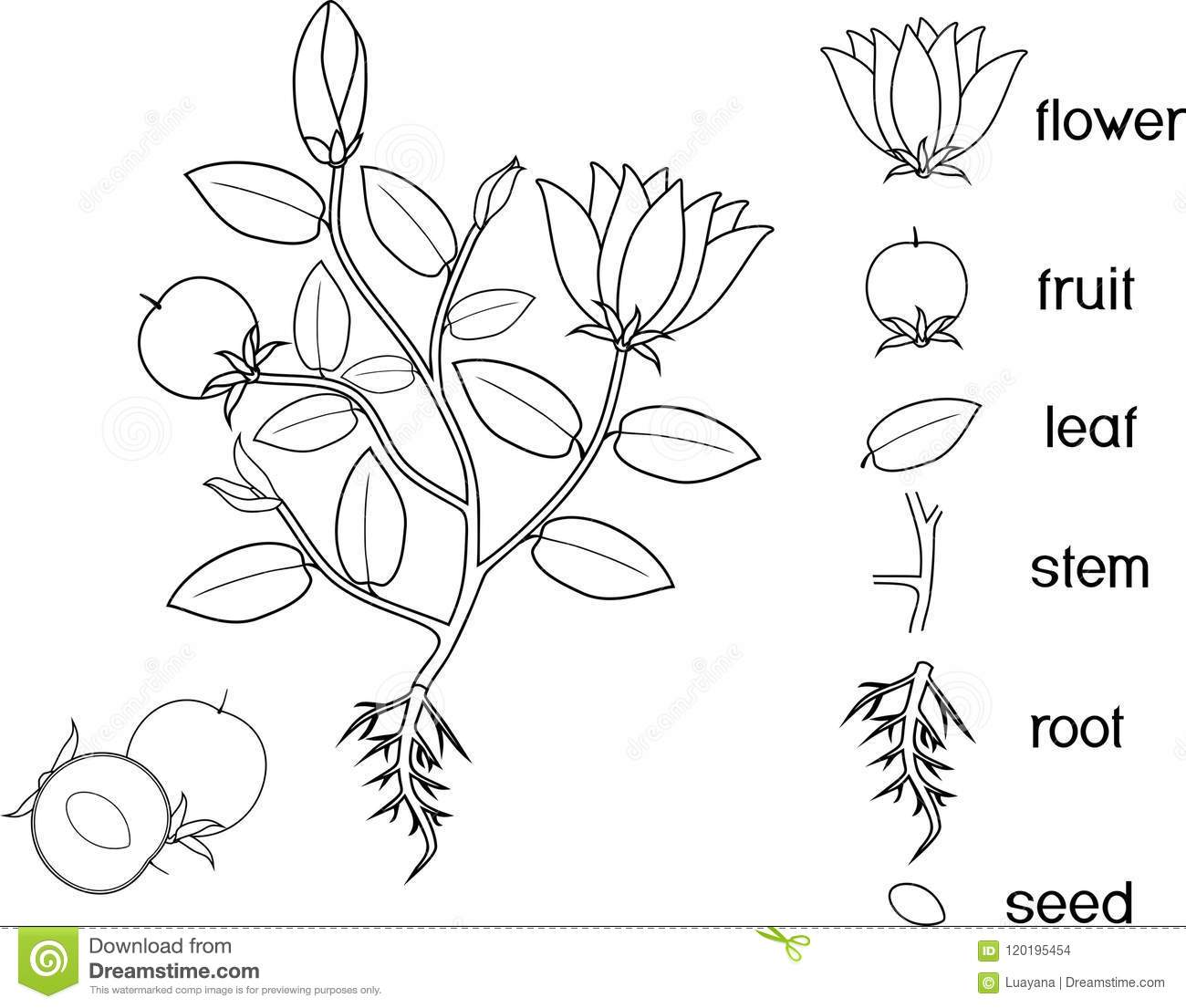 Coloring Page. Parts Of Plant. Morphology Of Flowering Plant ...