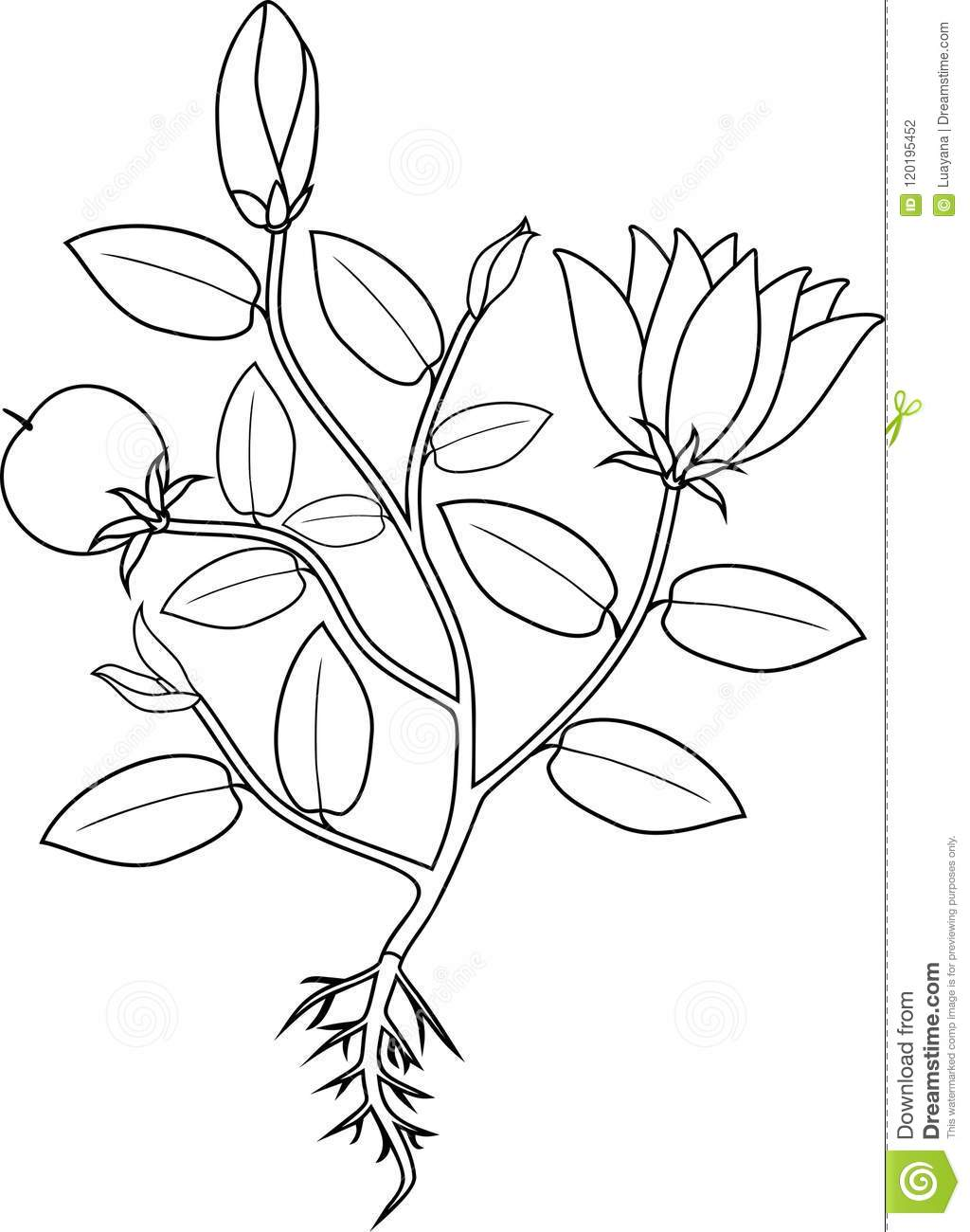 Coloring Page. Plant With Flowers, Leaves, Fruit And Root ...